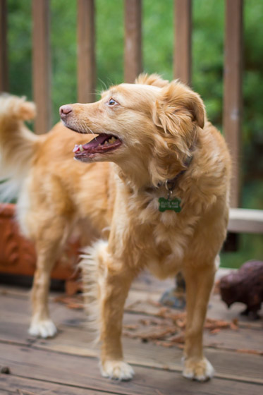 Orange dog standing on outdoor deck looking off camera with mouth open.