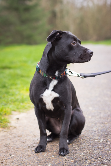 Cute black puppy with white chest on a leash looking away from the camera in a park.