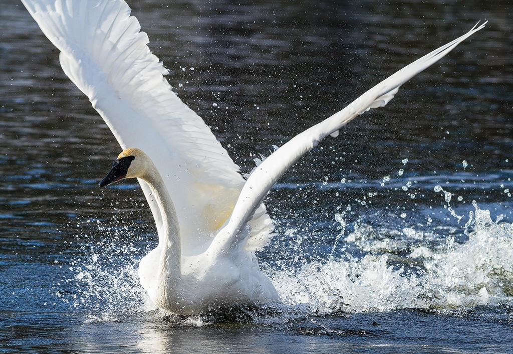 With a wingspan approaching two-and-a-half meters, Trumpeter Swans are the largest of the world's swans. Takeoff by a full-grown swan weighing up to 30 pounds takes practice and strenuous effort.