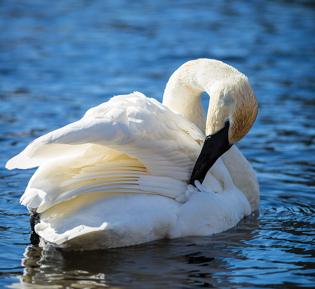 Daily preening maintains a water repellent layer of feathers, which insulates the swans from frigid waters and sub-zero temperatures.