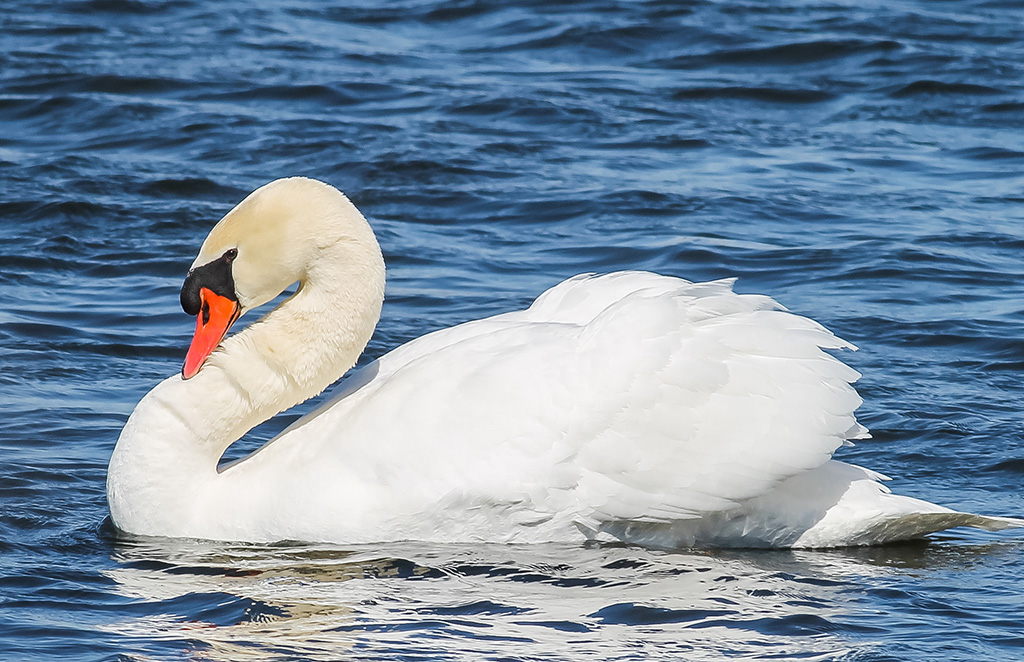 Mute Swans, native to Eurasia, are increasingly common in southern Hastings County. They are easily distinguished from Trumpeters by their orange-red bills.
