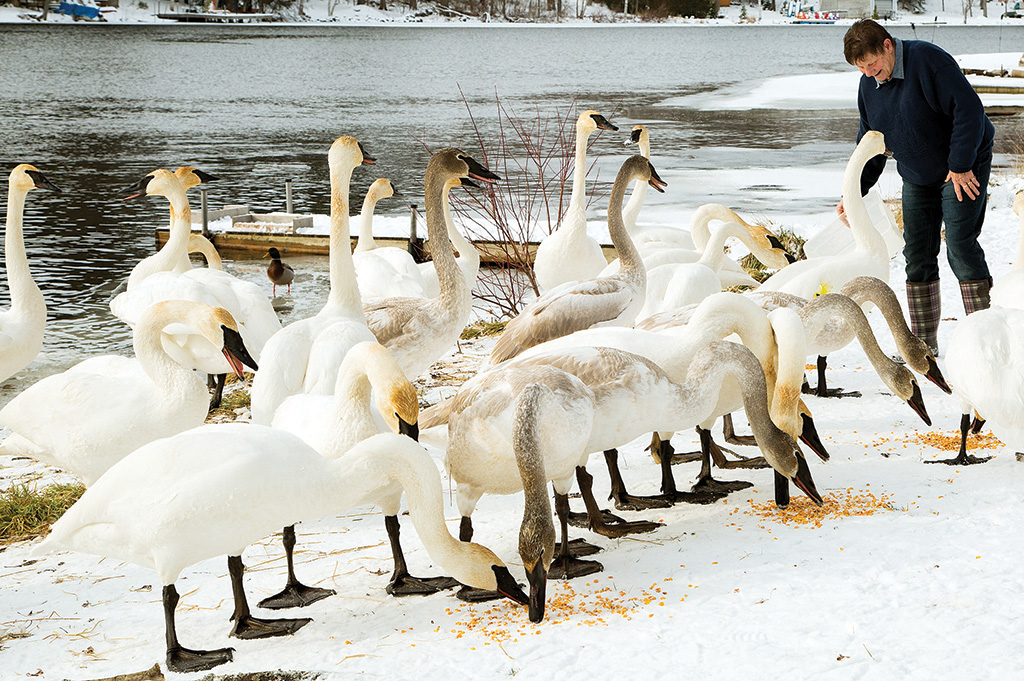 "Lynn Gapes of Marmora offers corn to a growing flock of eager swans. The Trumpeter Swans of Hastings County are indeed wild birds, yet they seem to regard Lynn as ""one of their own."" To a swan enthusiast, there is no greater compliment."