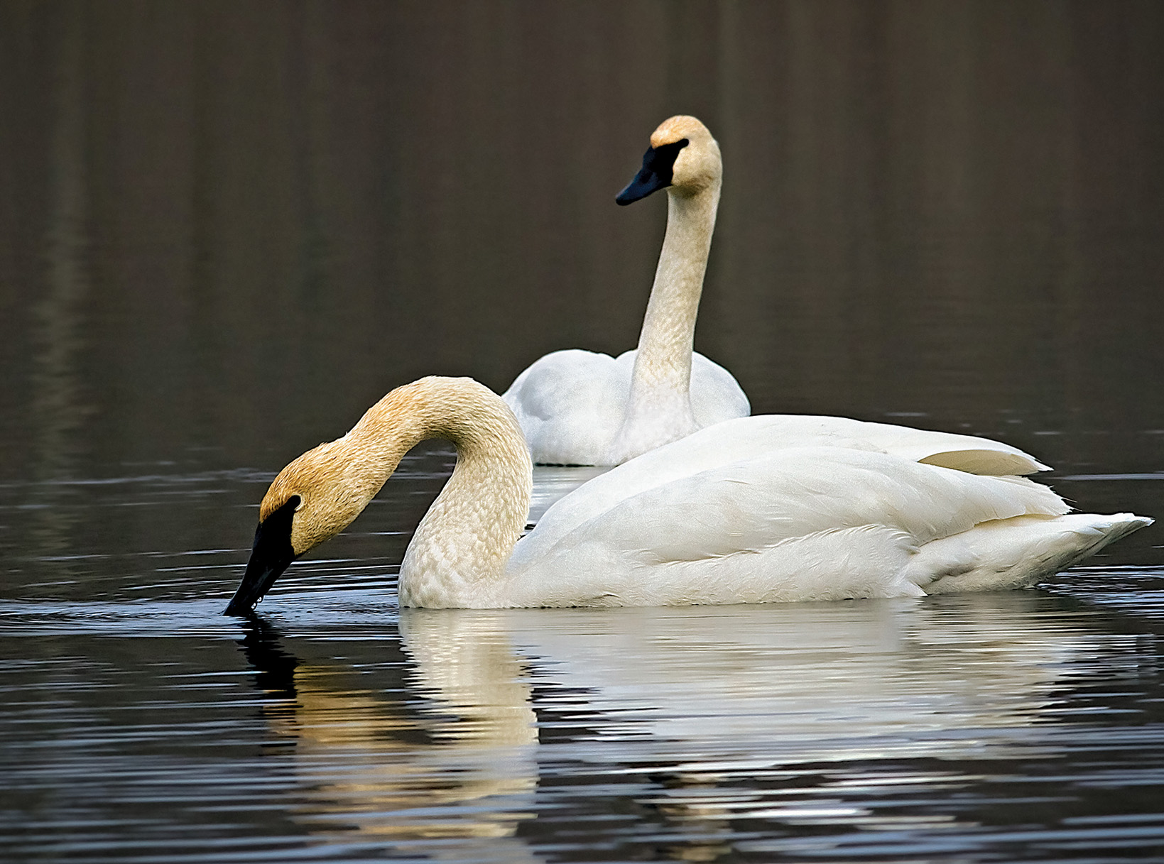 Trumpeter Swans most often mate for life and pairs remain together throughout the year