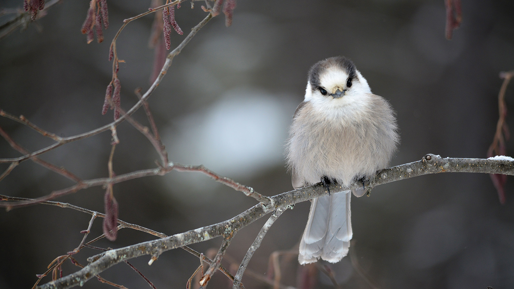 Gray Jay's rear their chicks in the dead of winter. These highly curious birds are very comfortable with human interaction.