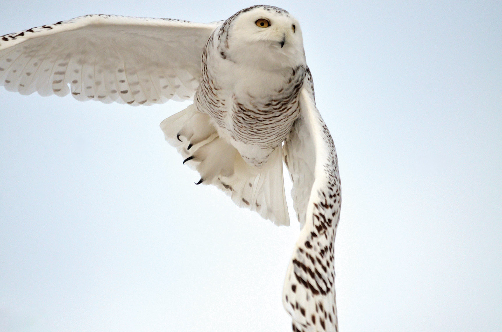 Snowy Owls move into our area during the winter, providing an opportunity to marvel at their hunting techniques.