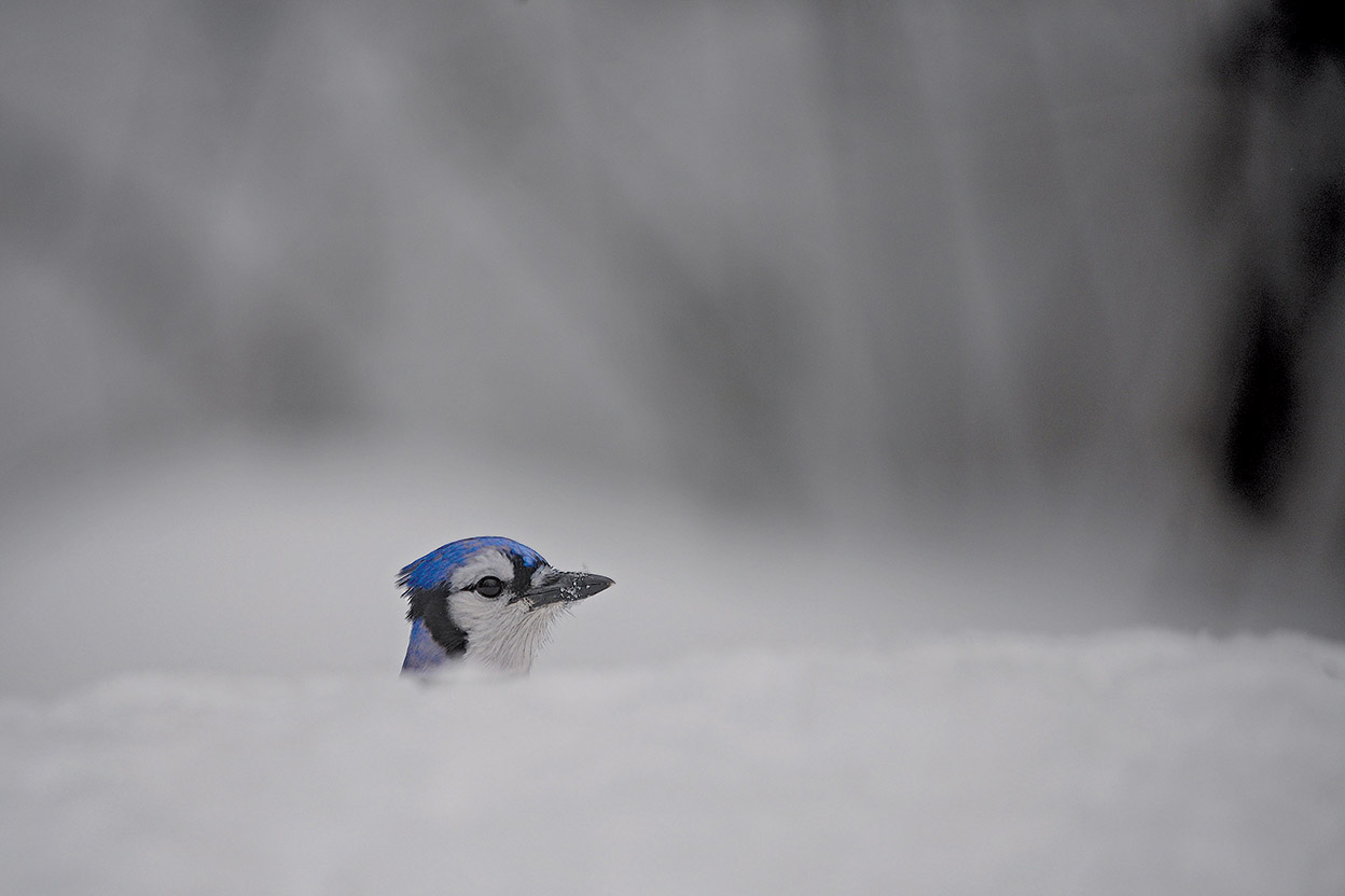 A stark white background of snow gives many animal species, such as Blue Jays, extra pop.