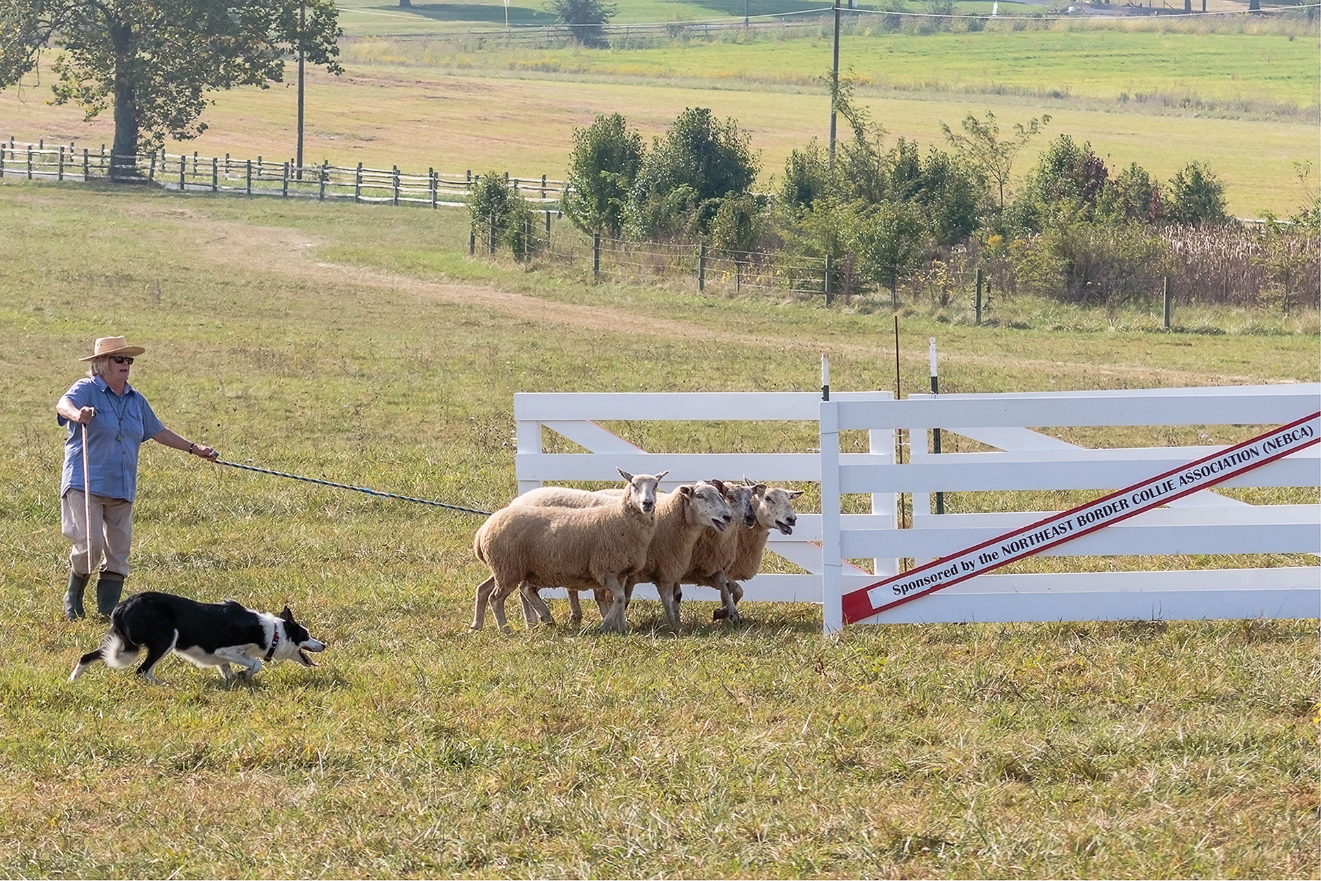 'Scott' in action at the 2017 USBCHA National Finals in Virginia, where he earned a place to compete with the top trialing dogs in North America. In the sheep dog trialing world, qualifying to compete with the top 150 dogs in North America is prestigious. Photo © Michelle Lawrence, All Rights Reserved