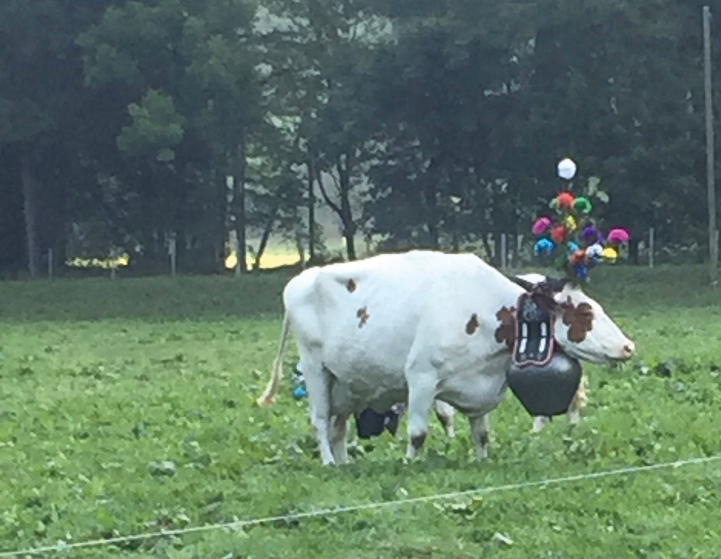 All dressed up and nowhere to go but down from the Alps to greener pastures for winter. A flower-bedecked cow gets ready for the annual Desalpes celebration near Charmey.