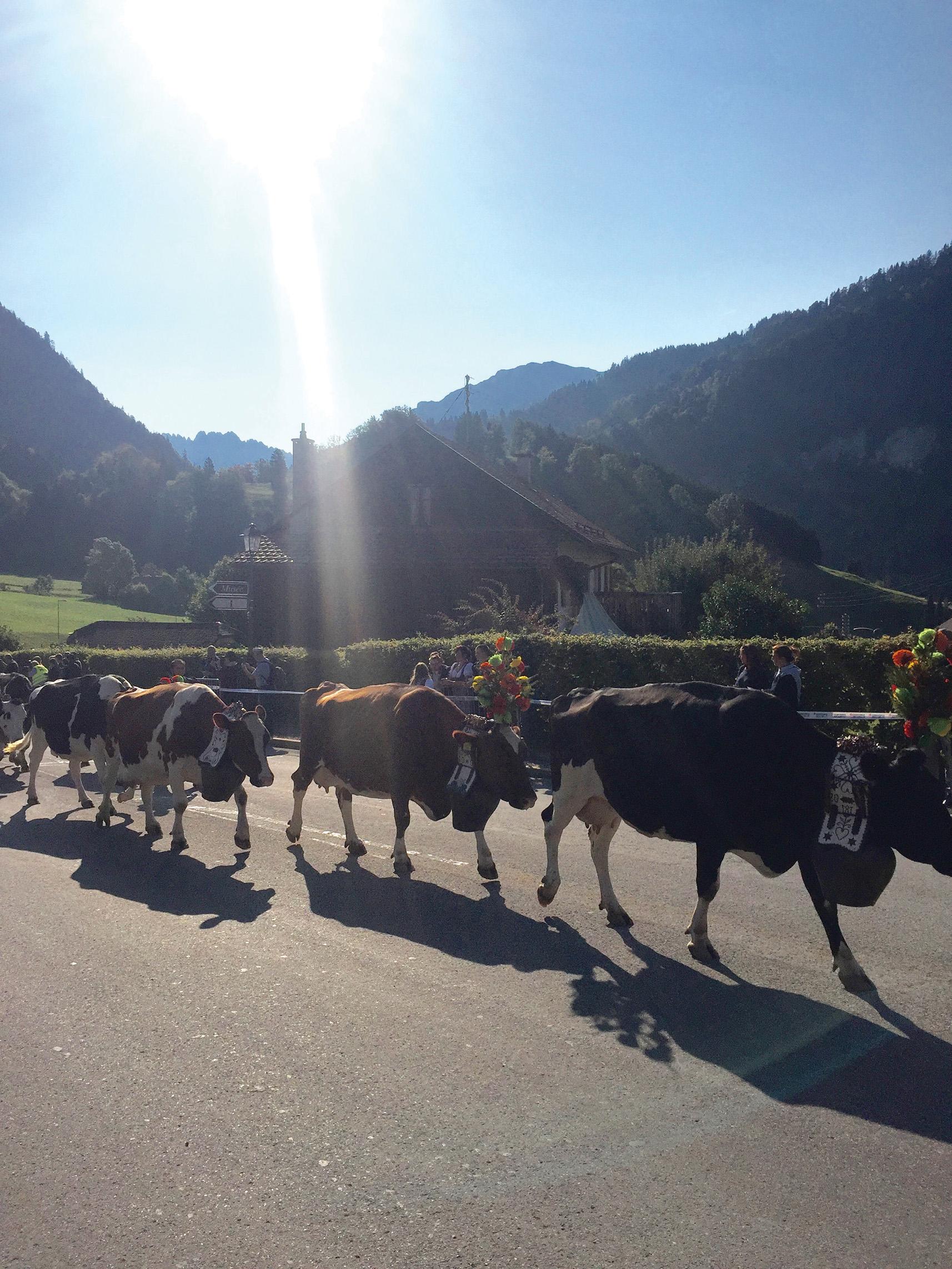 Cows on parade at Desalpes.