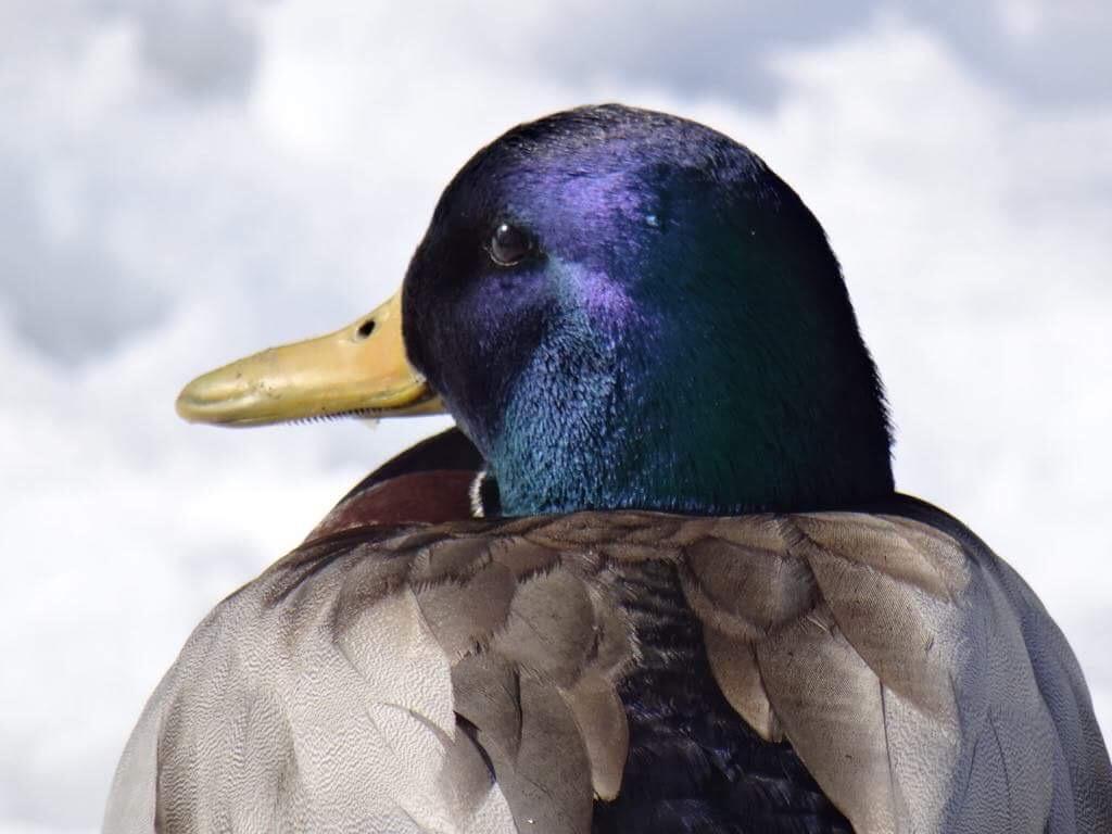 Mary Cronin – Ducks and nature.