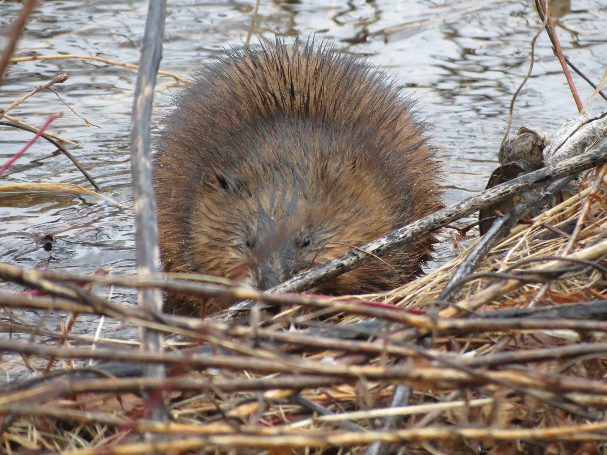 Beavers are the second largest rodent in the world, and their teeth never stop growing, which makes their unpopular gnawing upon trees a biological necessity for survival. A national animal of Canada, once they were heavily hunted for food, fur and pelts, but with the decrease in hunting their population has increased.