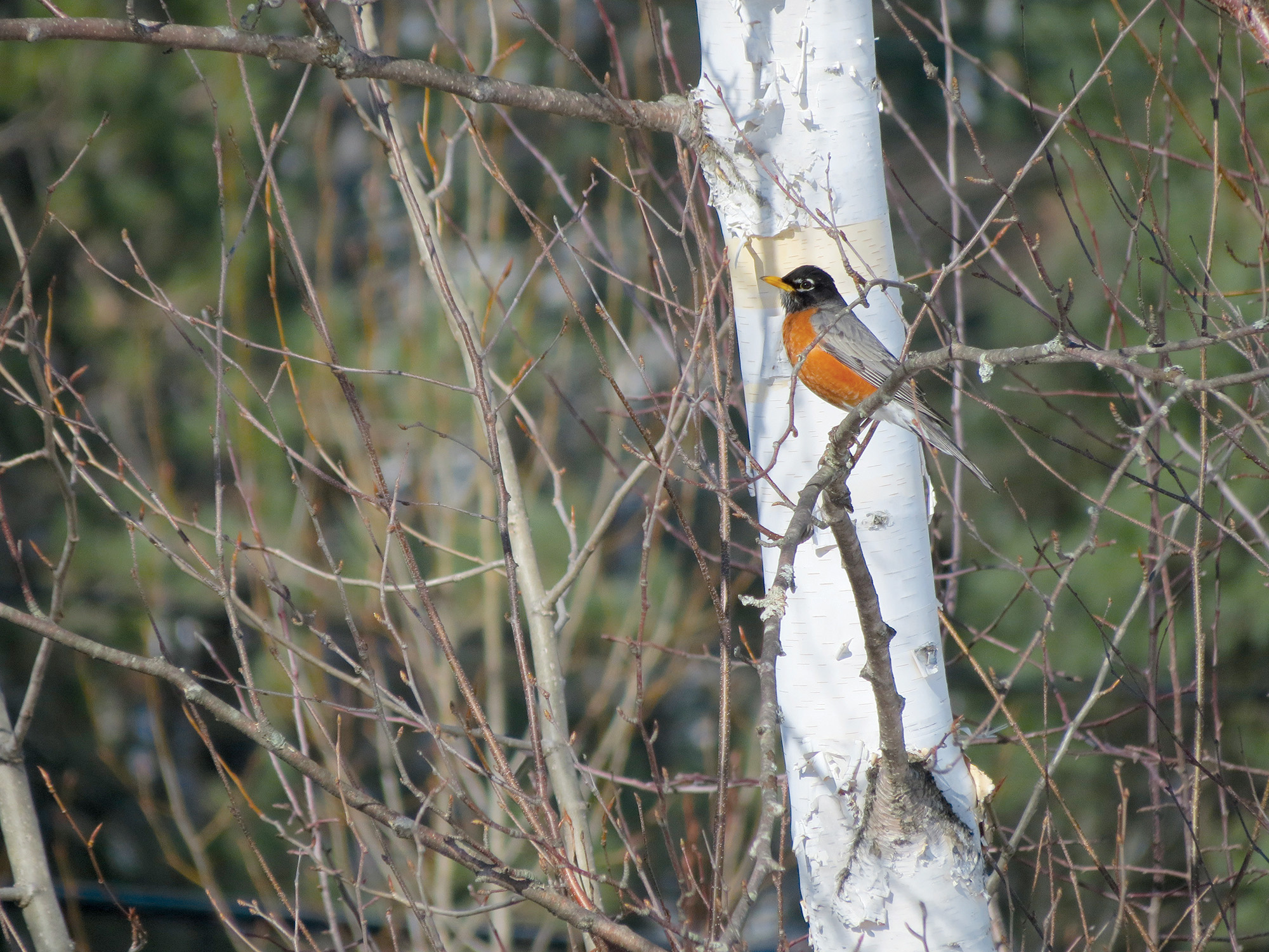 Robins are very territorial birds, and it is estimated that ten percent of them die defending territory from other Robins. They are also very prolific, living on every continent. Robins may find several mates in a season, and the male takes an active role in feeding the female as she nests.