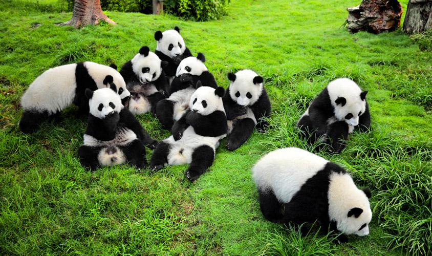 Chengdu Panda Research Base