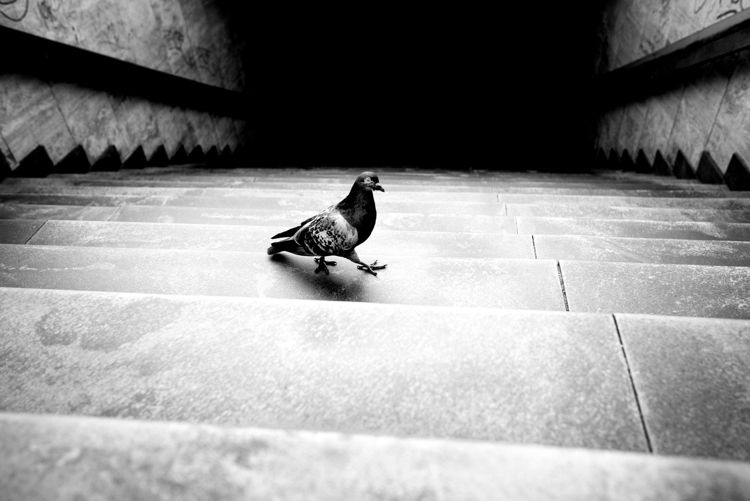 Pigeon Series - Alan Schaller - 9.jpg
