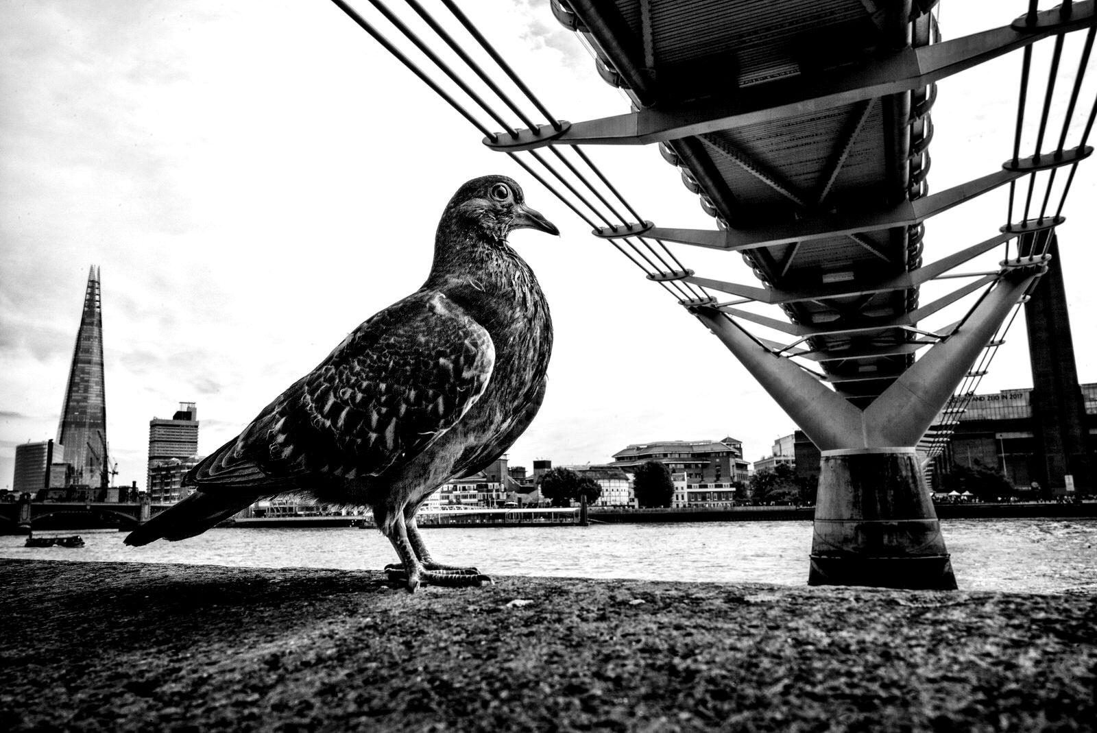 Pigeon Series - Alan Schaller - 16.jpg