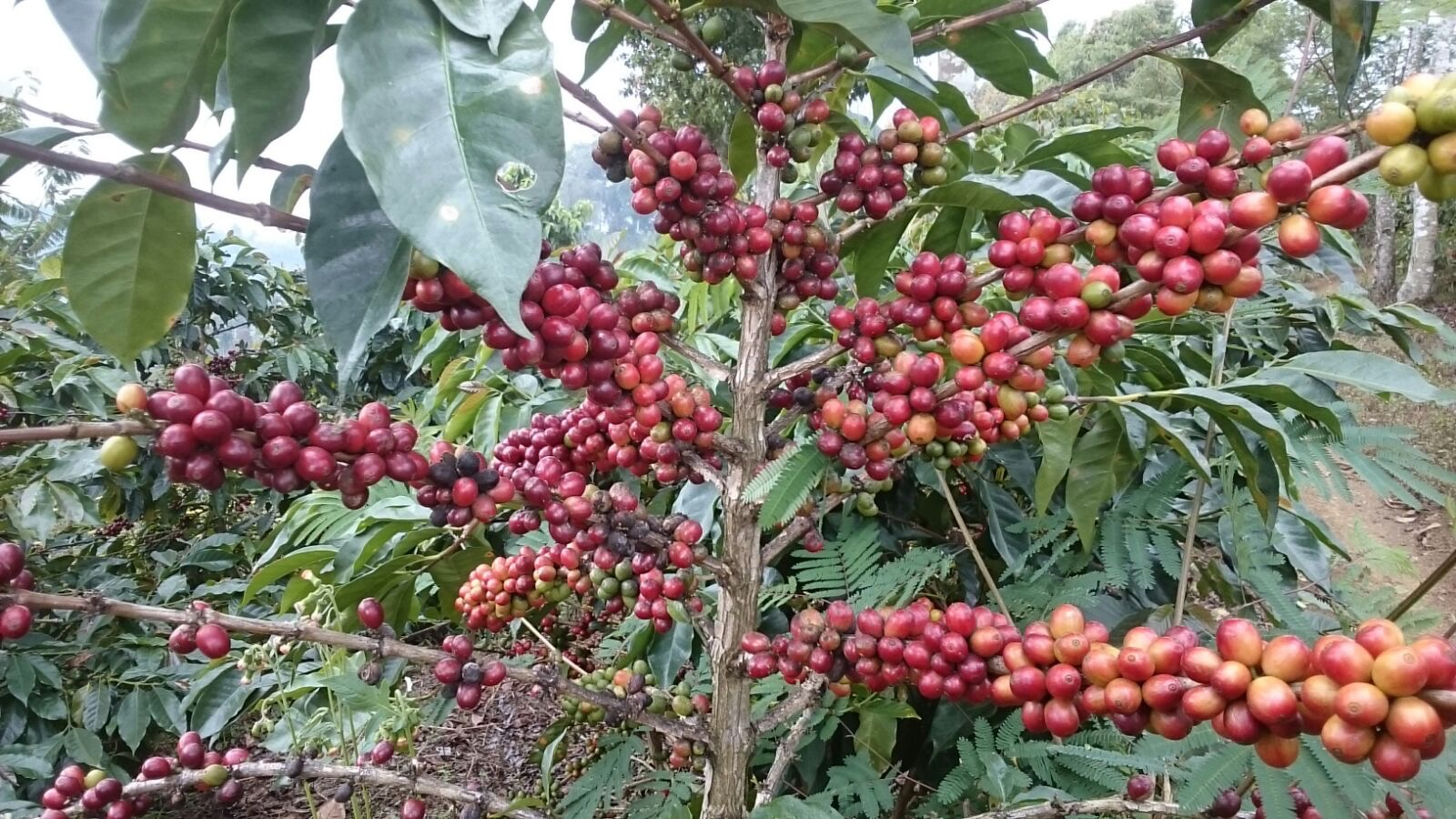 Ripe Sigararutang coffee tree from Weninggalih plantation