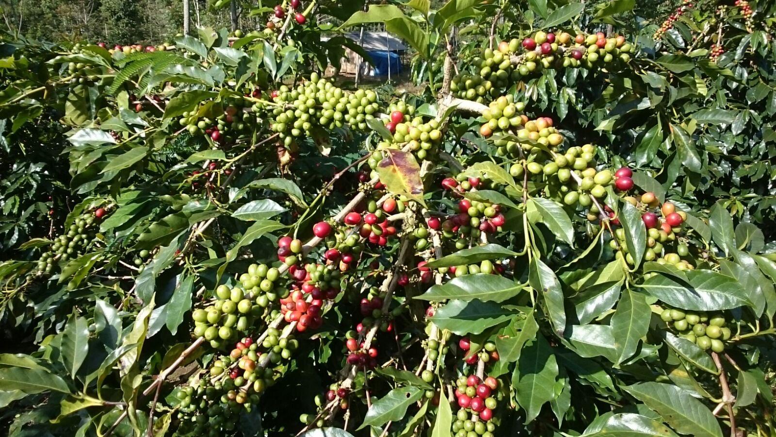 Sigararutang coffee tree from Weninggalih plantation