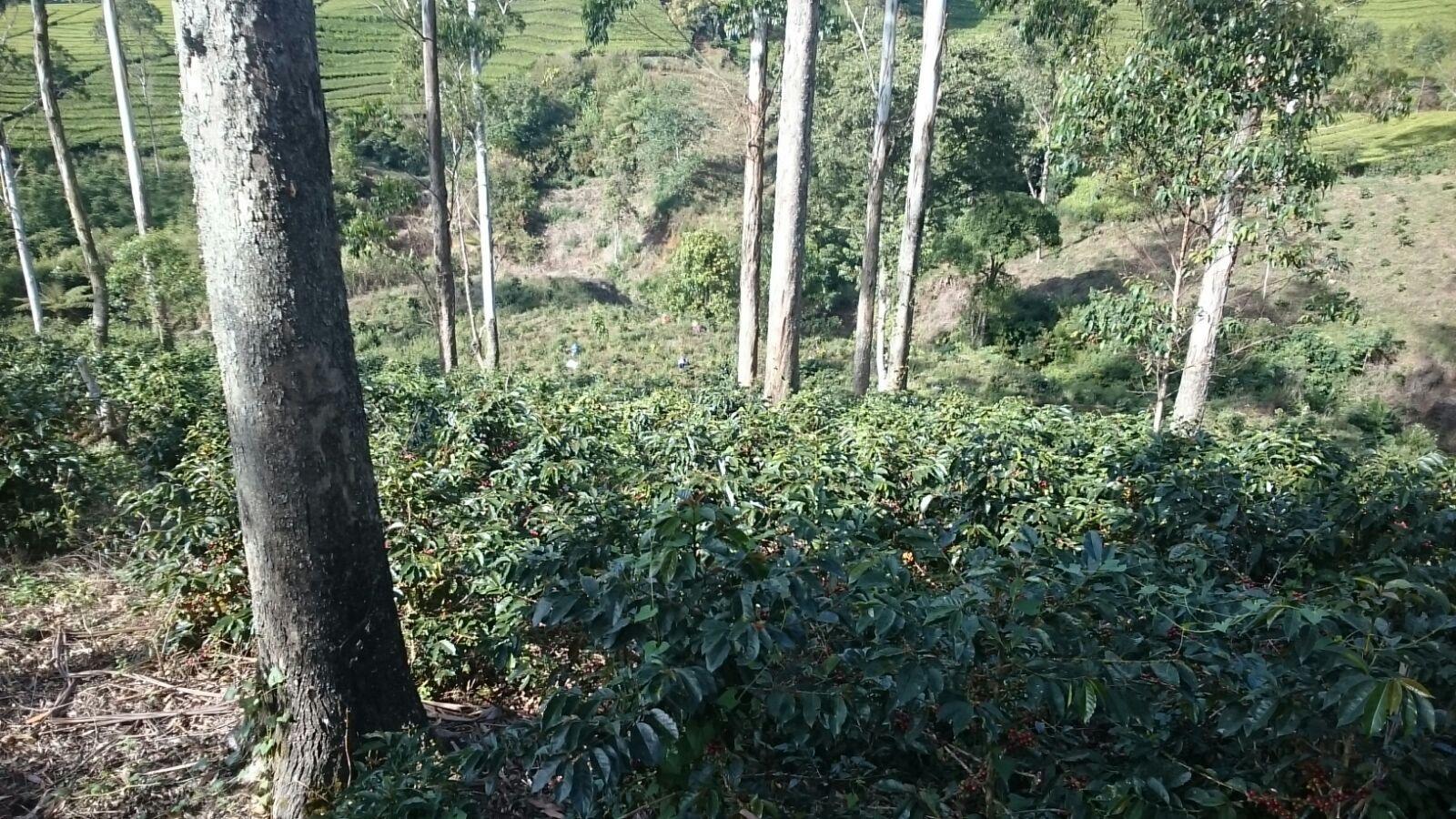 Cultivar S795 (TYPICA)