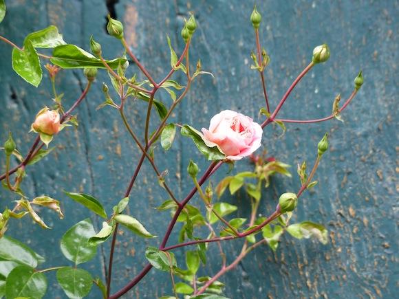 gerberoy-blue-rose.jpg