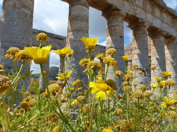 segesta-flower2.jpg
