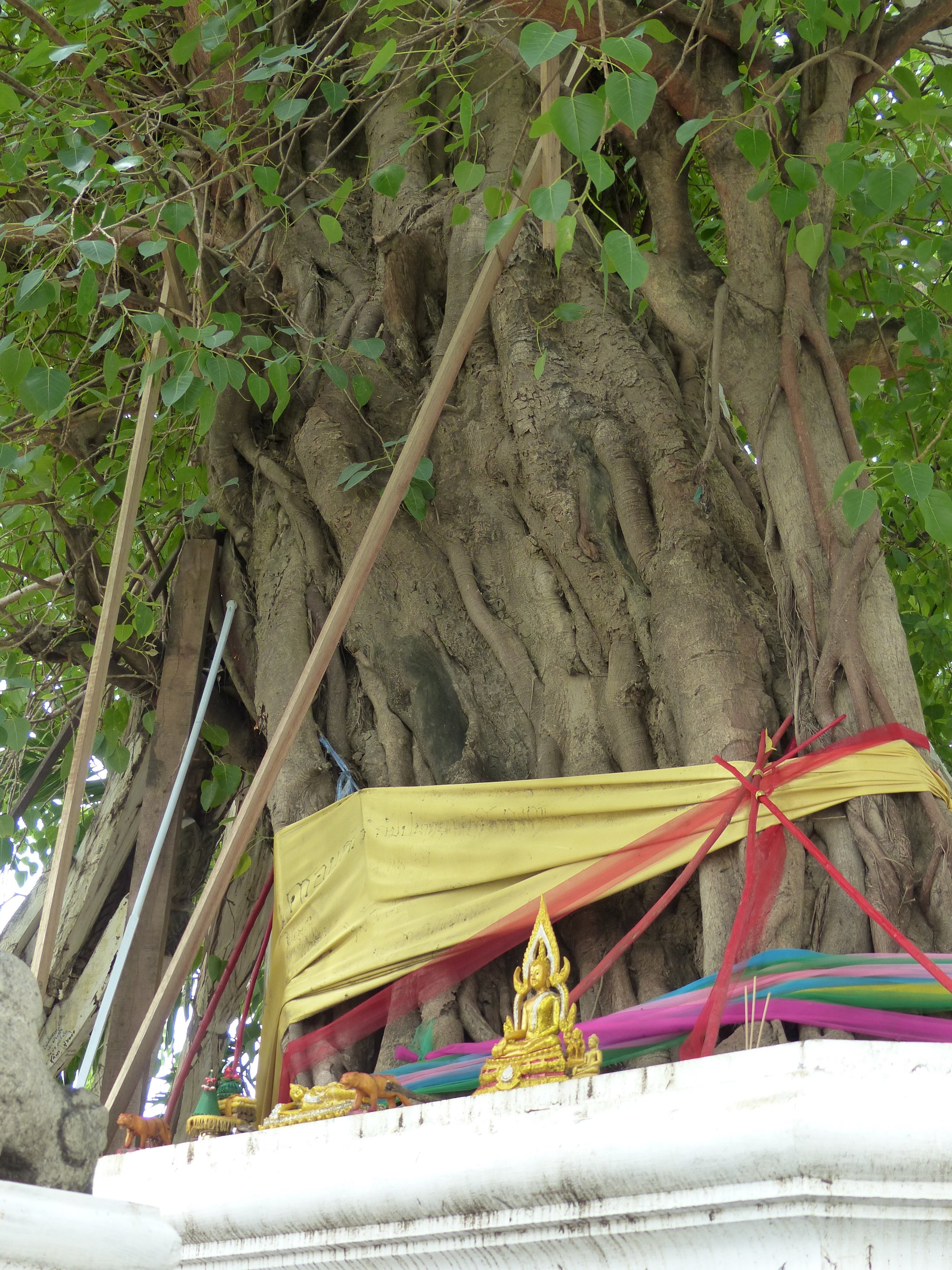 Tree descended from the bodhi tree under which Buddha achieved enlightenment