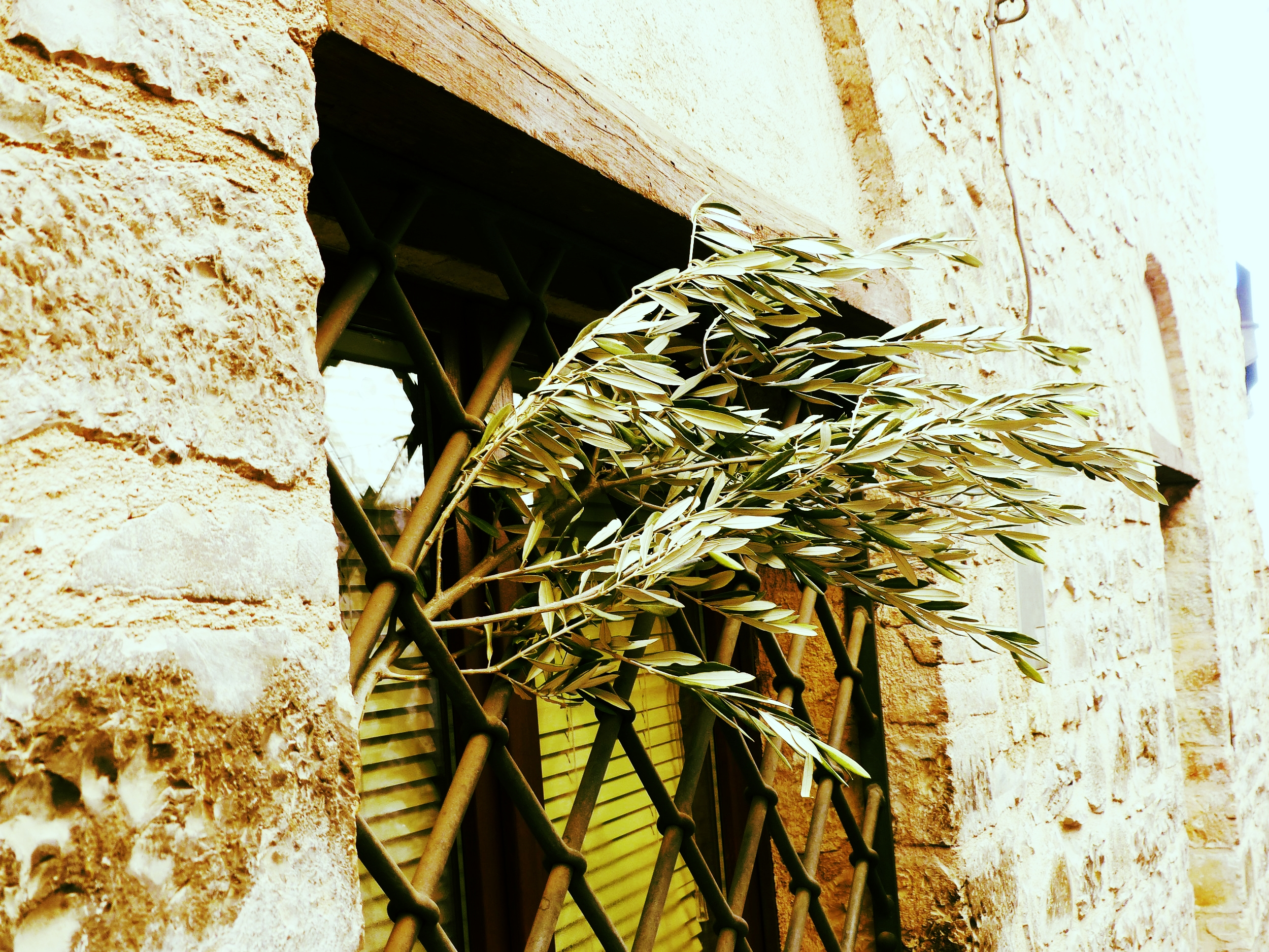 Olive branch at L'Oro di Spello, Umbria