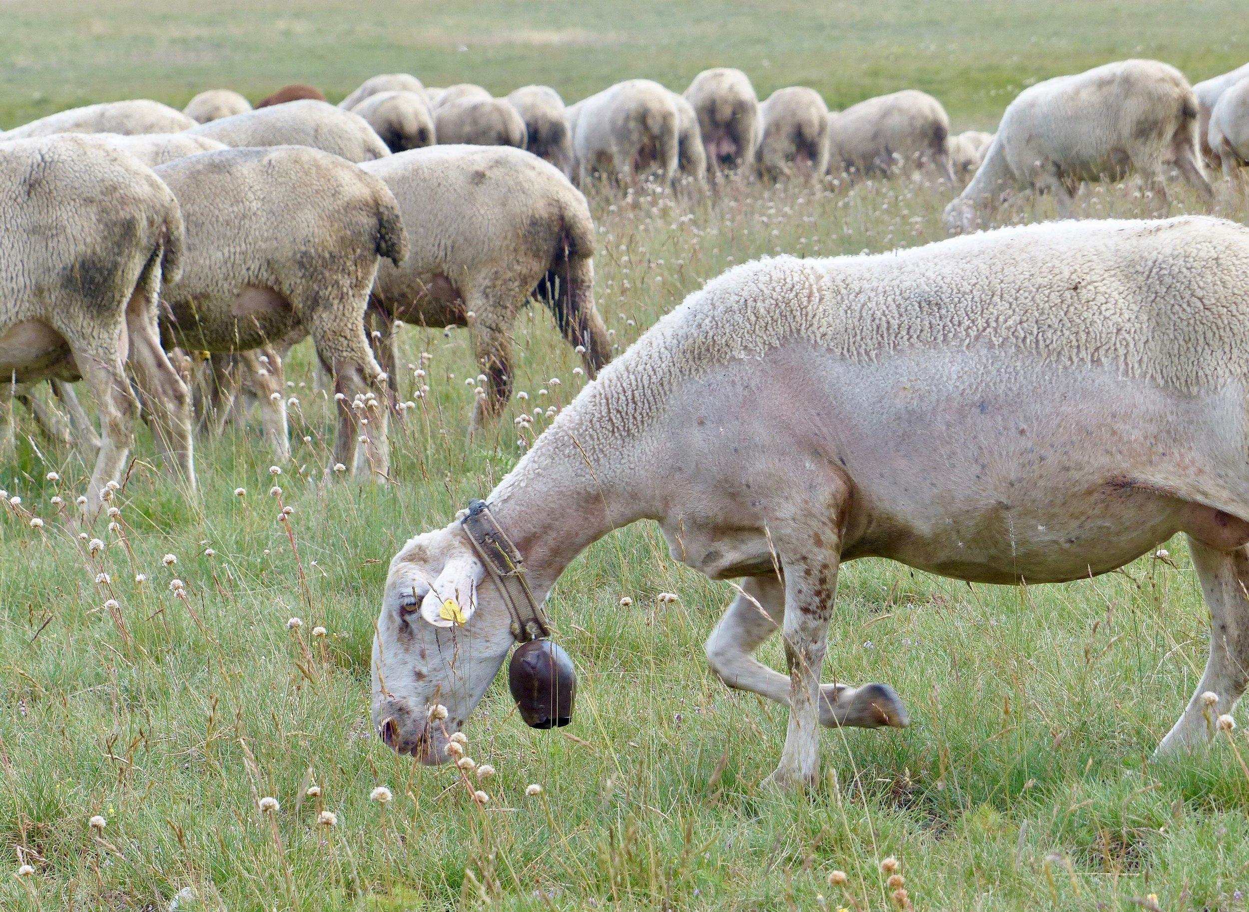 mucciante-sheep-bell.jpg