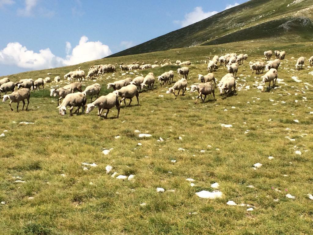 Sheep grazing in Gran sasso, Abruzzo