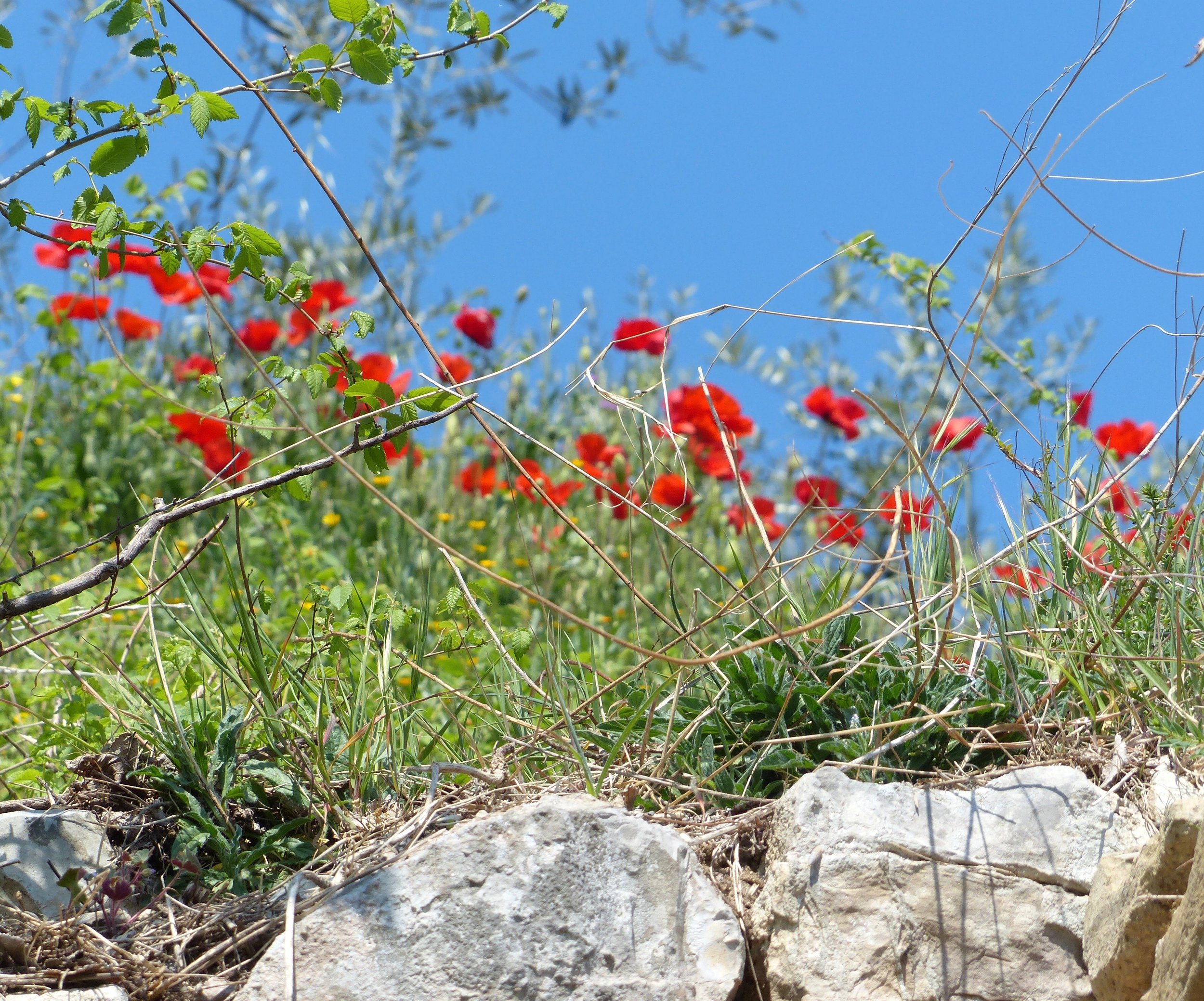 Springtime poppies in Spello, Umbria, italy