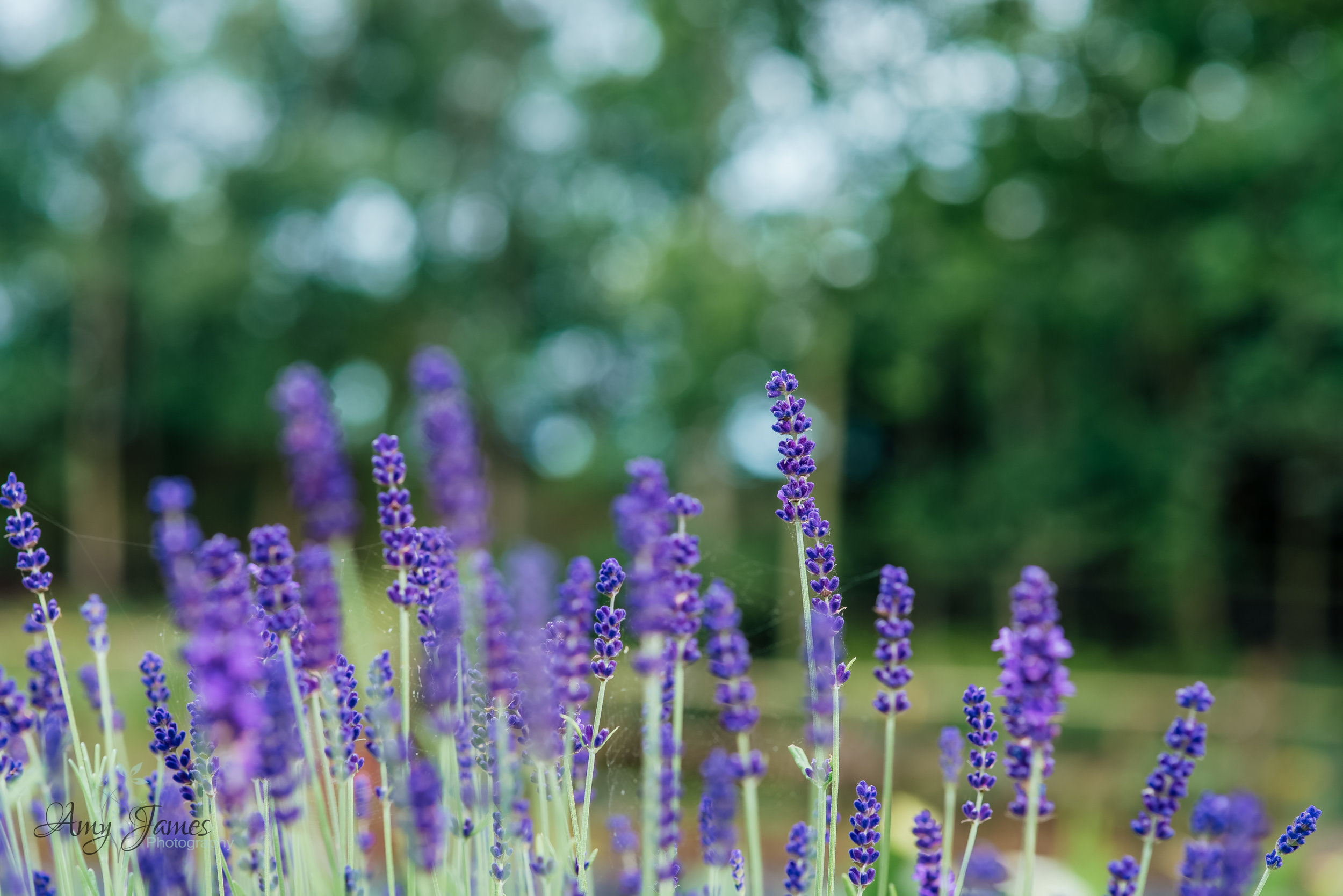 Lavender at outside wedding venue Hampshire Taplins Place by Amy James Photography Wedding Photographer Hampshire