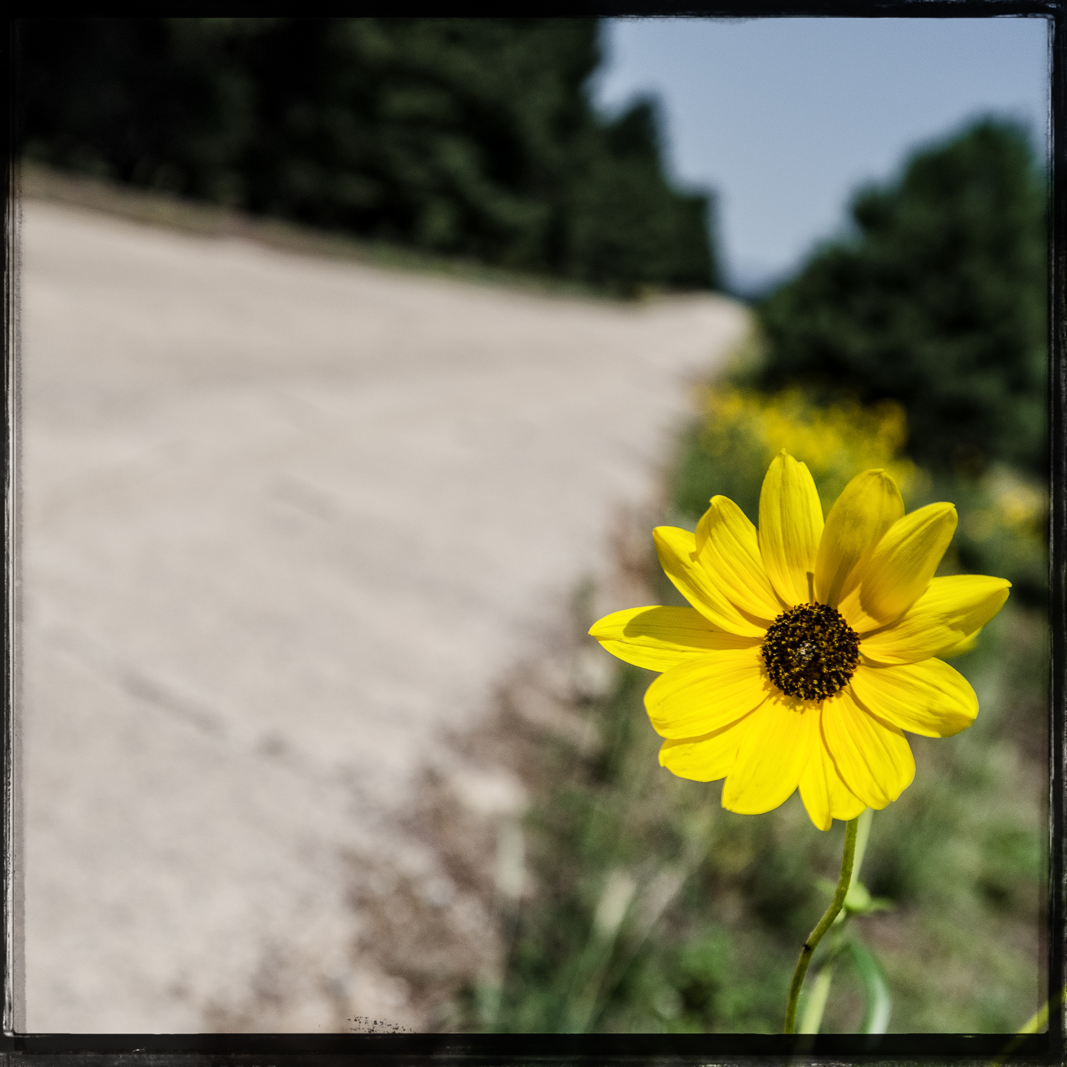 The Hitchhiking Road Flower