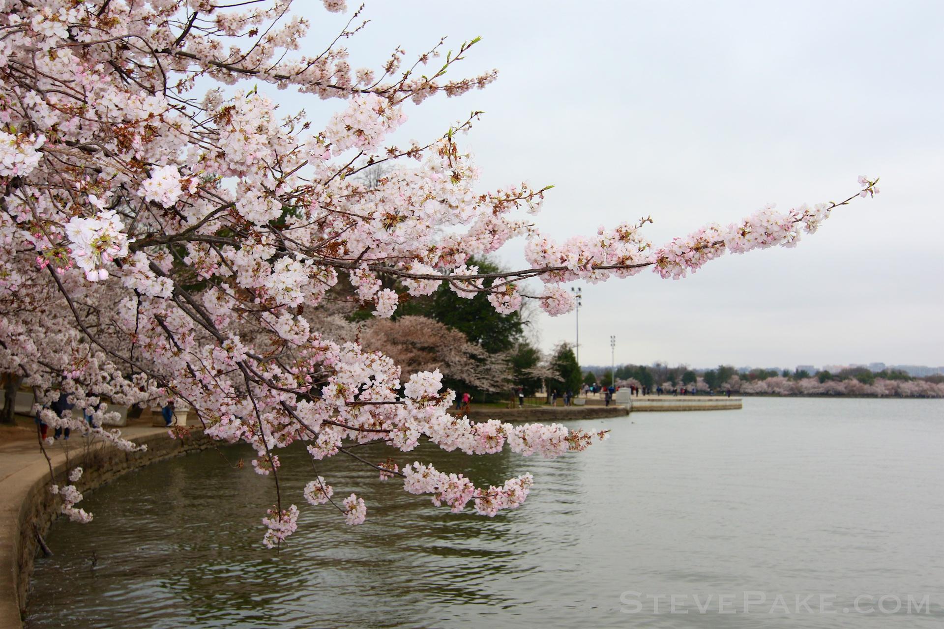 GE3A5722ap-2k_DC-Cherry-Blossoms-WM.jpg