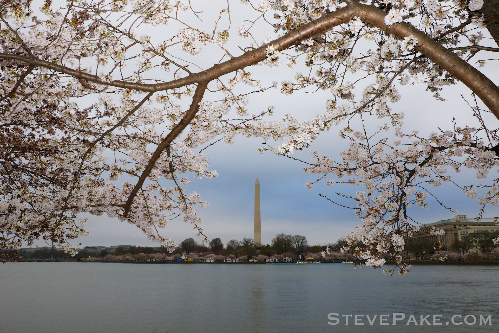 GE3A5739ap-2k_DC-Cherry-Blossoms-WM.jpg