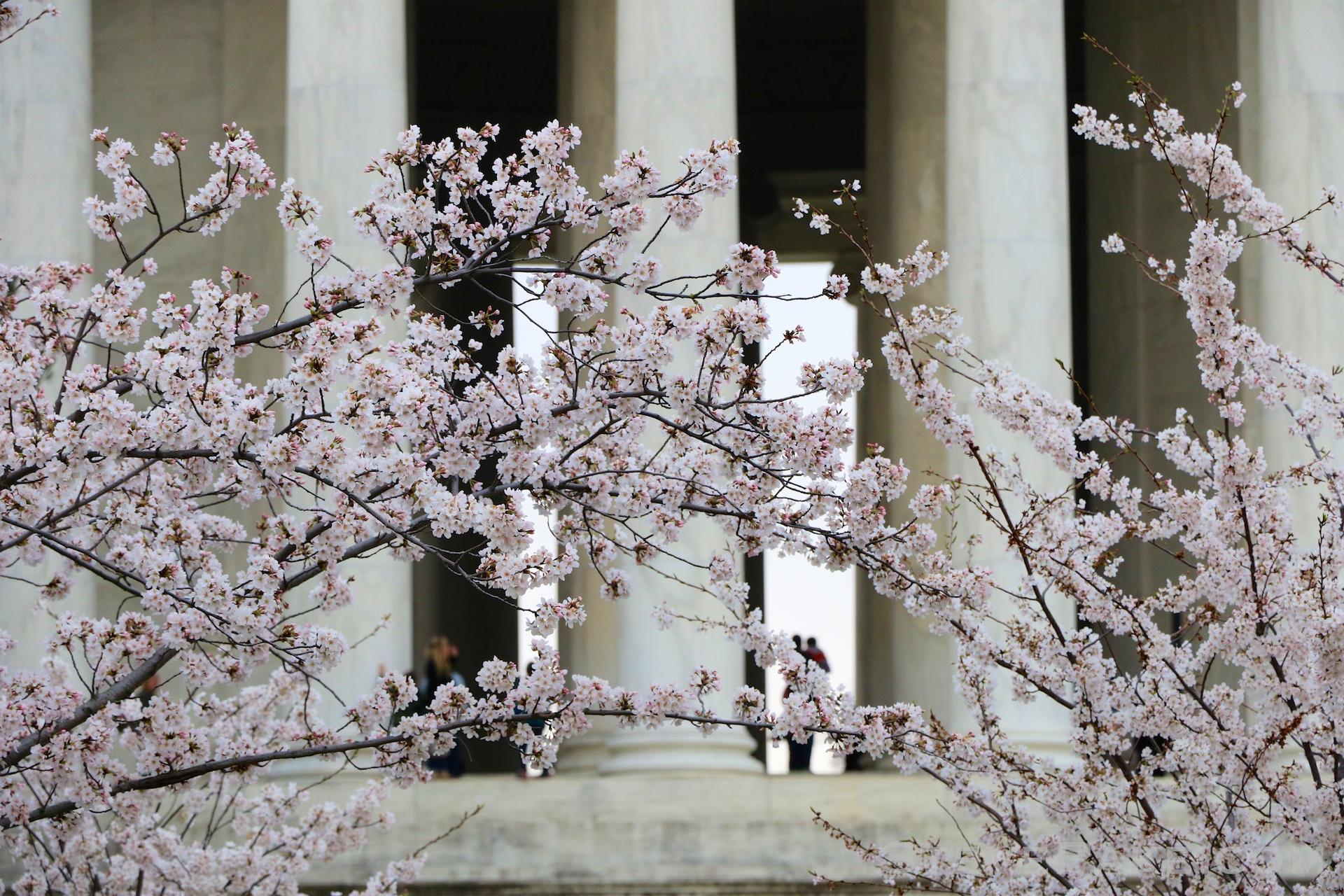 GE3A5786ap-2k_DC-Cherry-Blossoms-WM.jpg