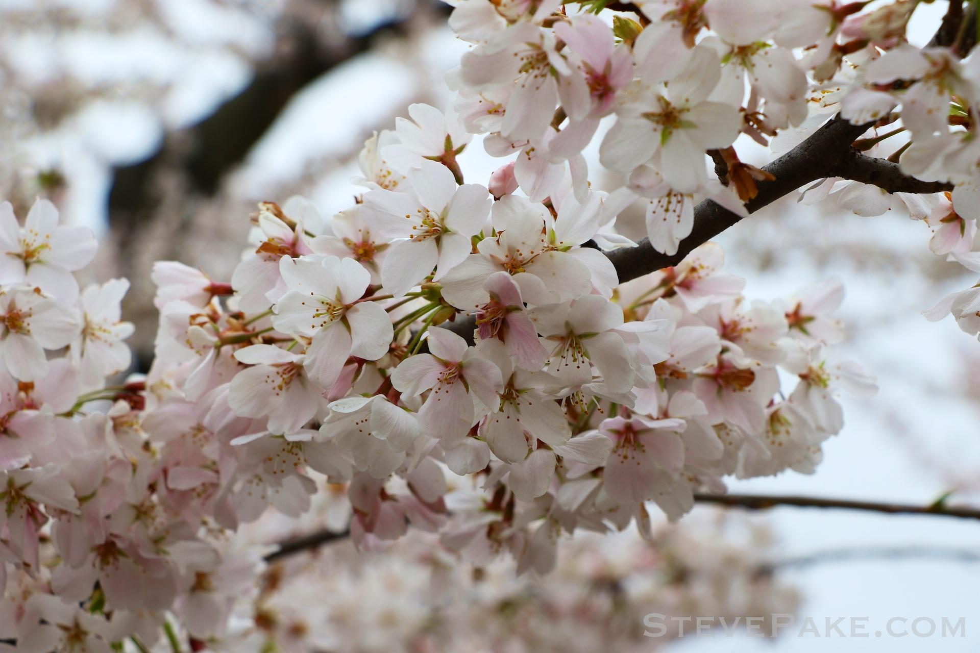 GE3A5793ap-2k_DC-Cherry-Blossoms-WM.jpg