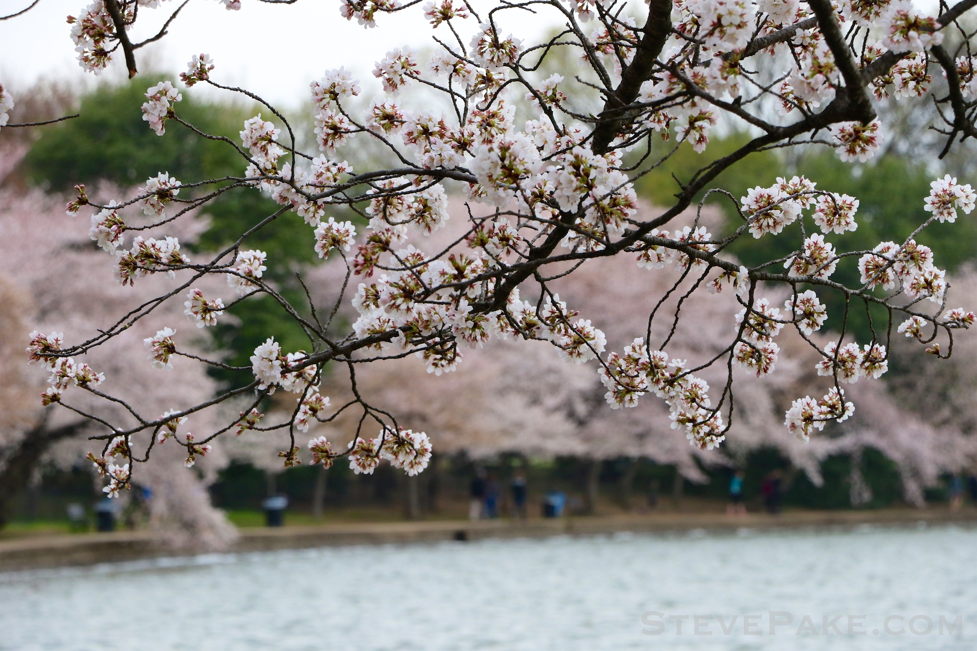 GE3A5825ap-2k_DC-Cherry-Blossoms-WM.jpg