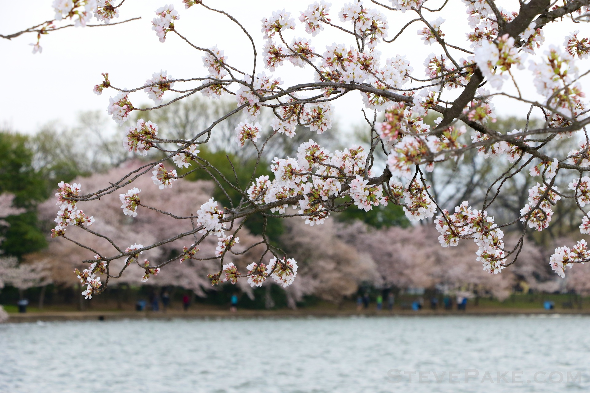 GE3A5826ap-2k_DC-Cherry-Blossoms-WM.jpg