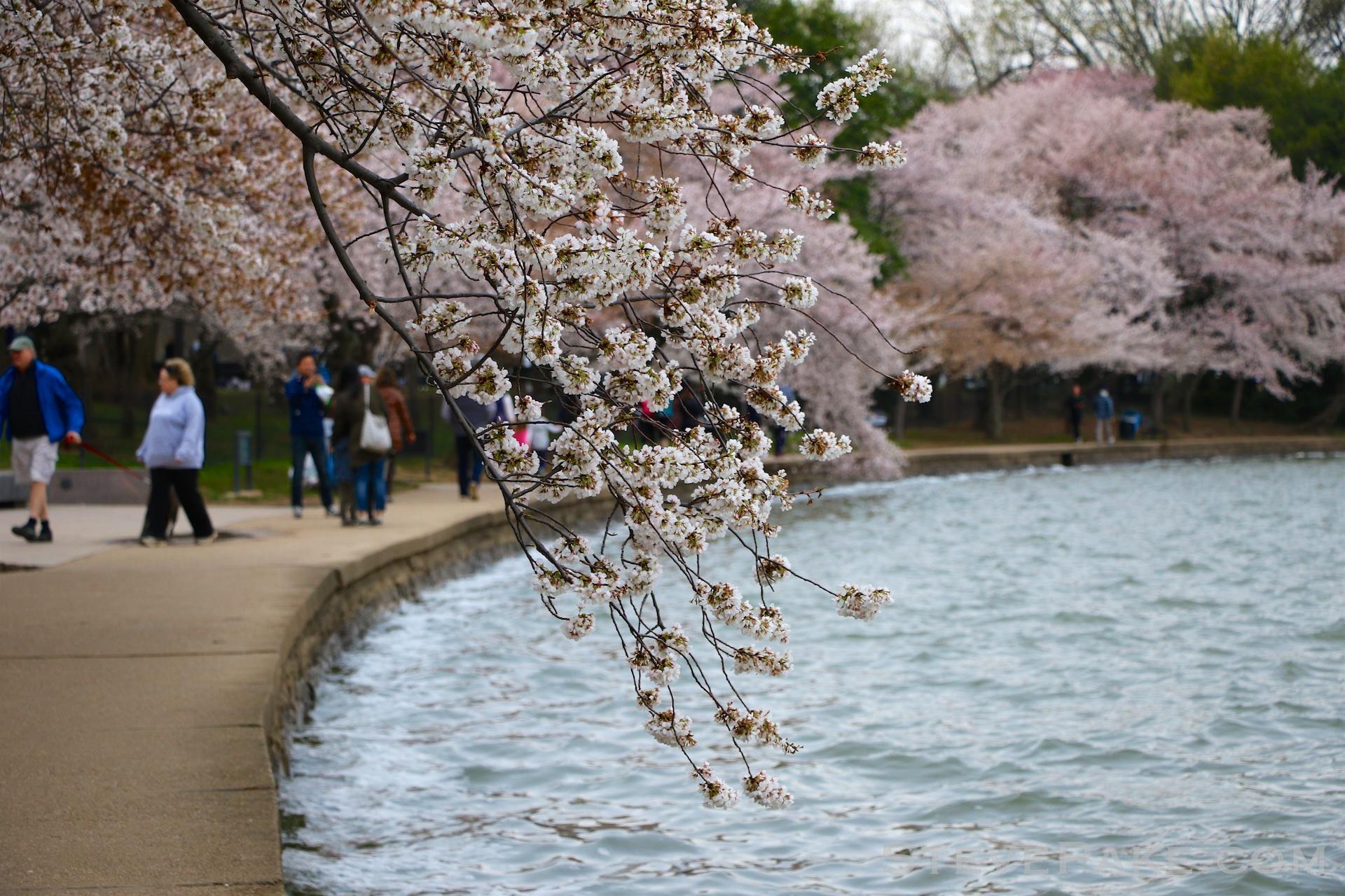 GE3A5832ap-2k_DC-Cherry-Blossoms-WM.jpg