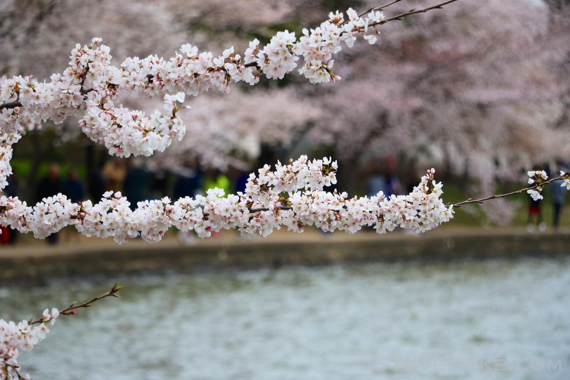 GE3A5840ap-2k_DC-Cherry-Blossoms-WM.jpg