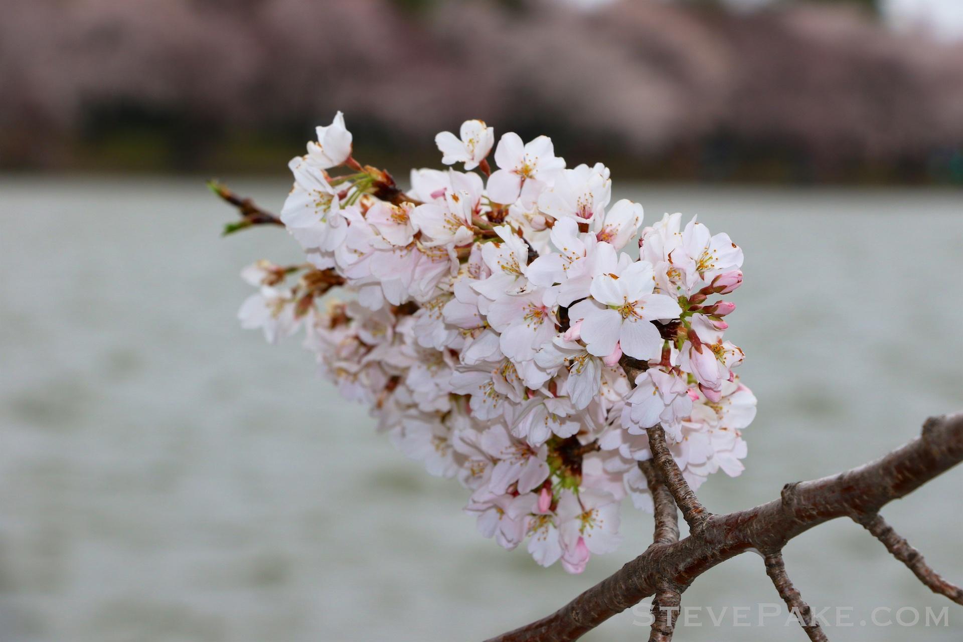 GE3A5842ap-2k_DC-Cherry-Blossoms-WM.jpg