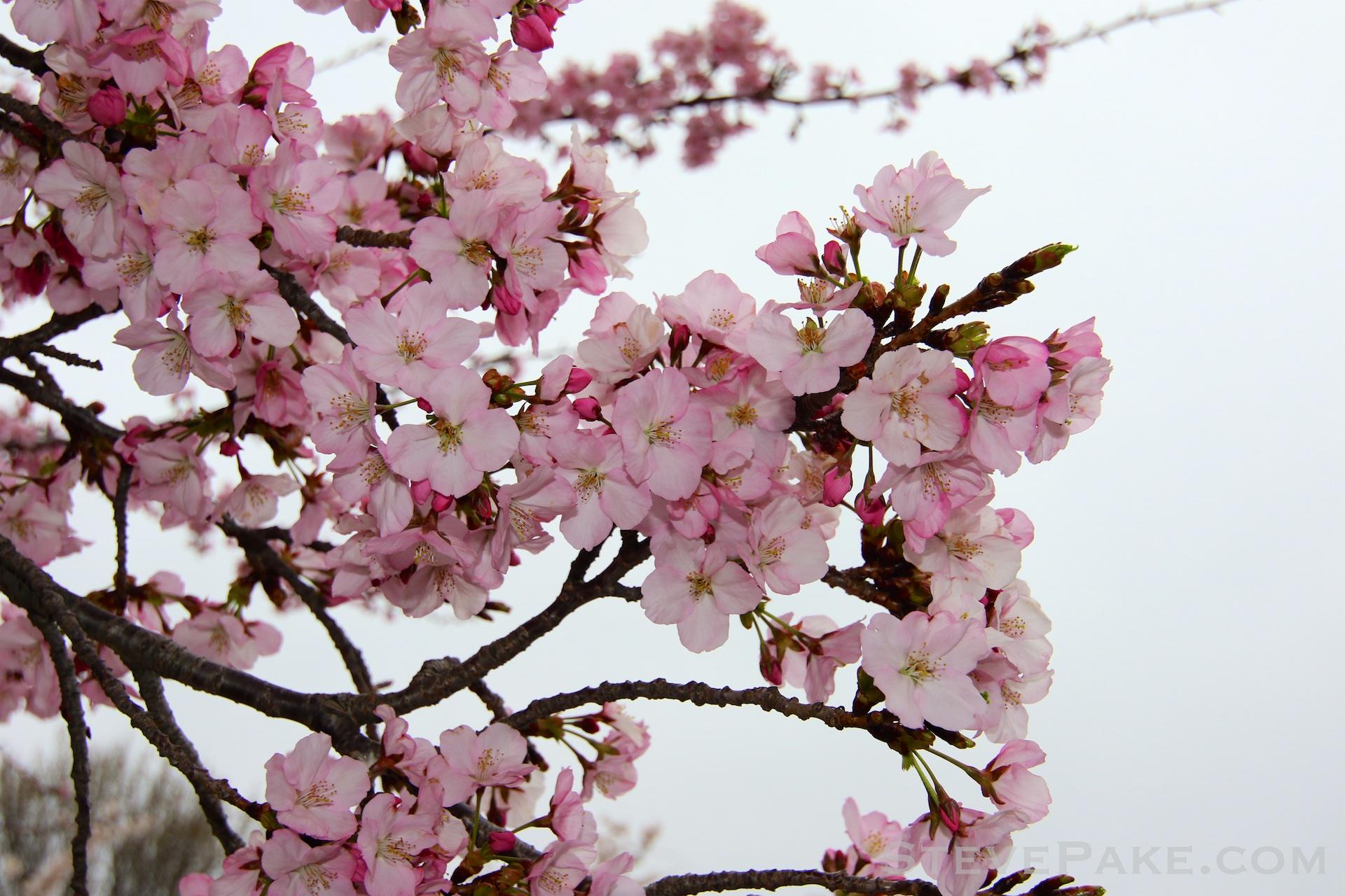 GE3A5847ap-2k_DC-Cherry-Blossoms-WM.jpg