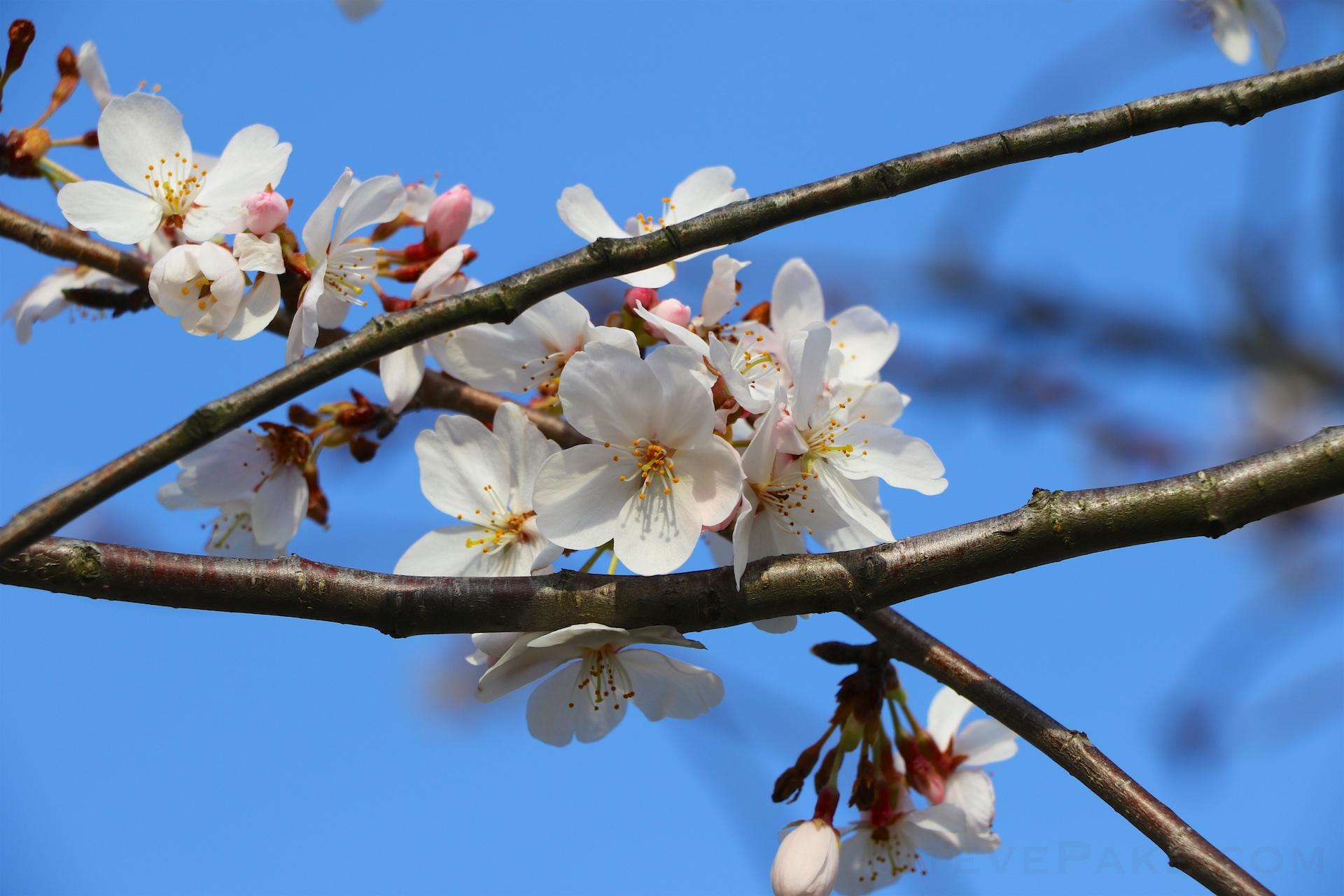 GE3A5886ap-2k_DC-Cherry-Blossoms-WM.jpg