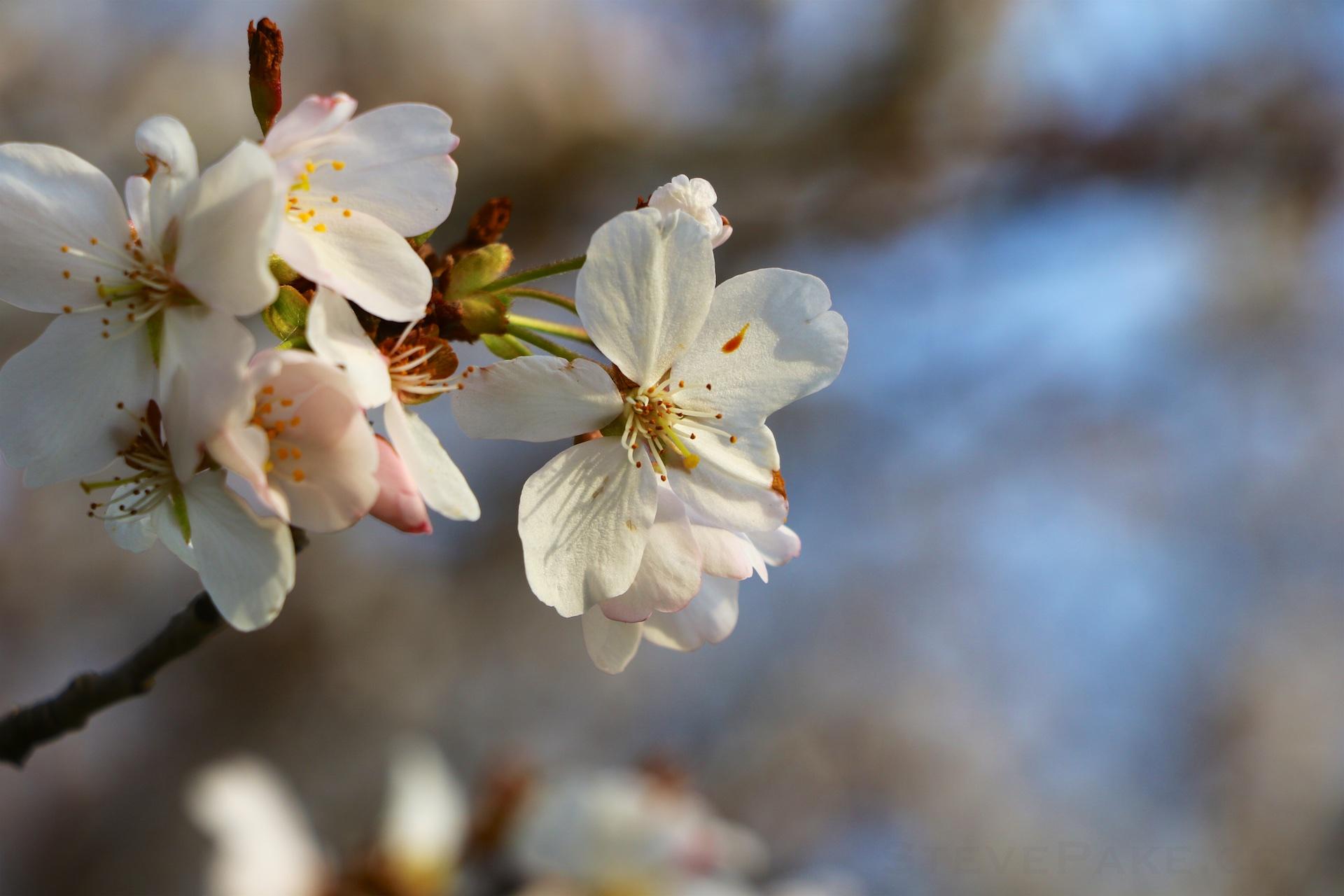 GE3A5889ap-2k_DC-Cherry-Blossoms-WM.jpg