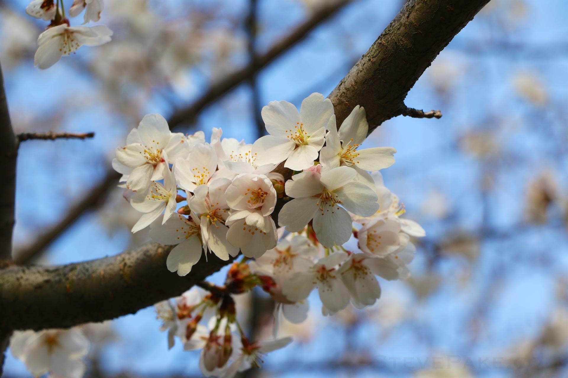 GE3A5893ap-2k_DC-Cherry-Blossoms-WM.jpg