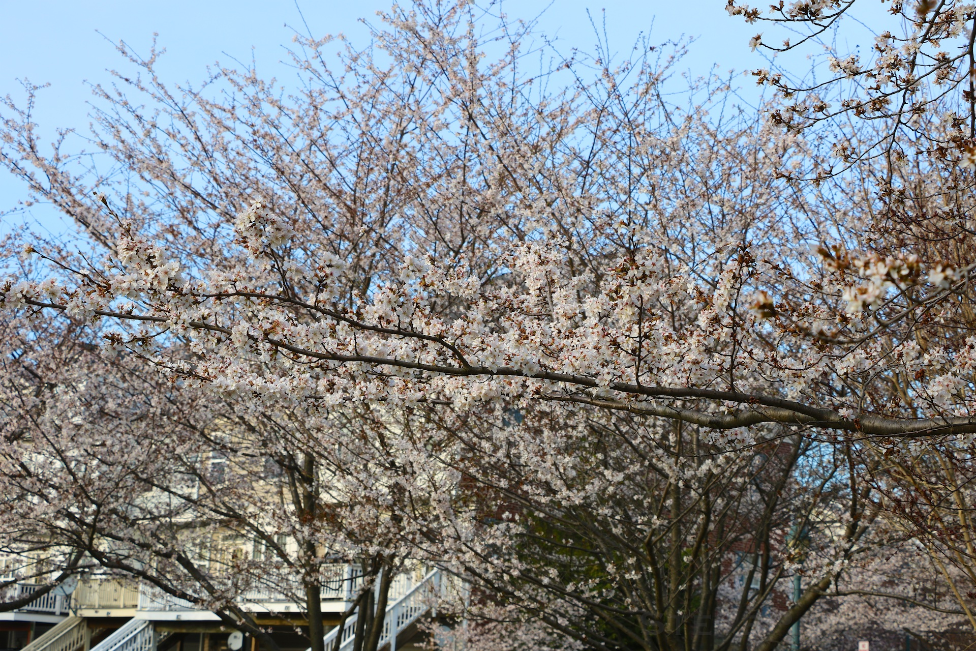 GE3A5892ap-2k_DC-Cherry-Blossoms-WM.jpg
