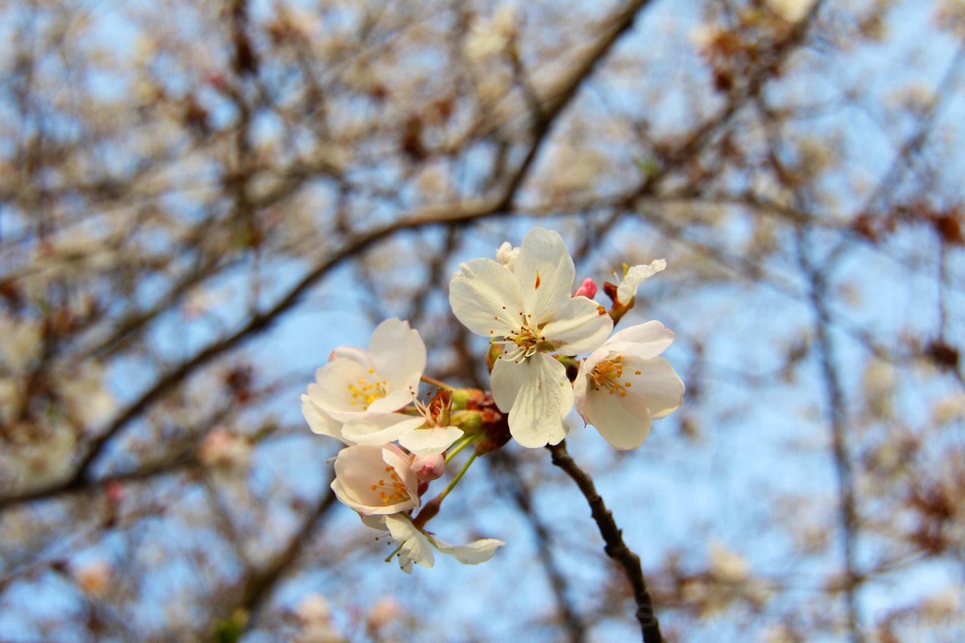 GE3A5895ap-2k_DC-Cherry-Blossoms-WM.jpg