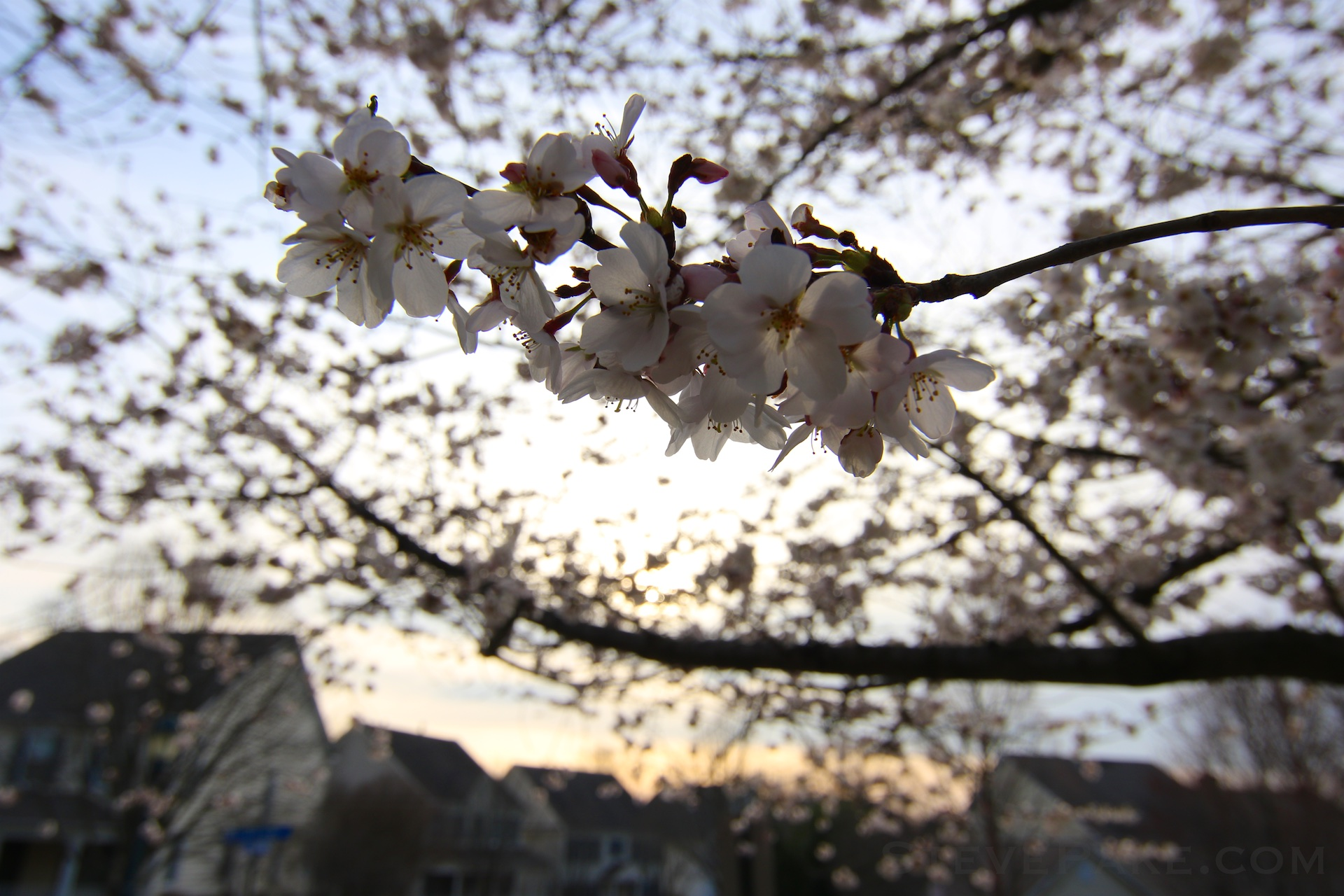 GE3A5898ap-2k_DC-Cherry-Blossoms-WM.jpg