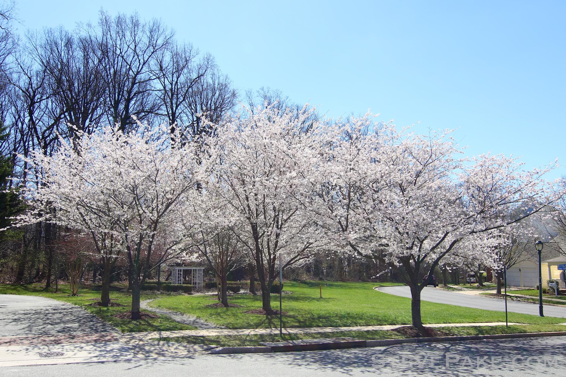 GE3A5904ap-2k_DC-Cherry-Blossoms-WM.jpg