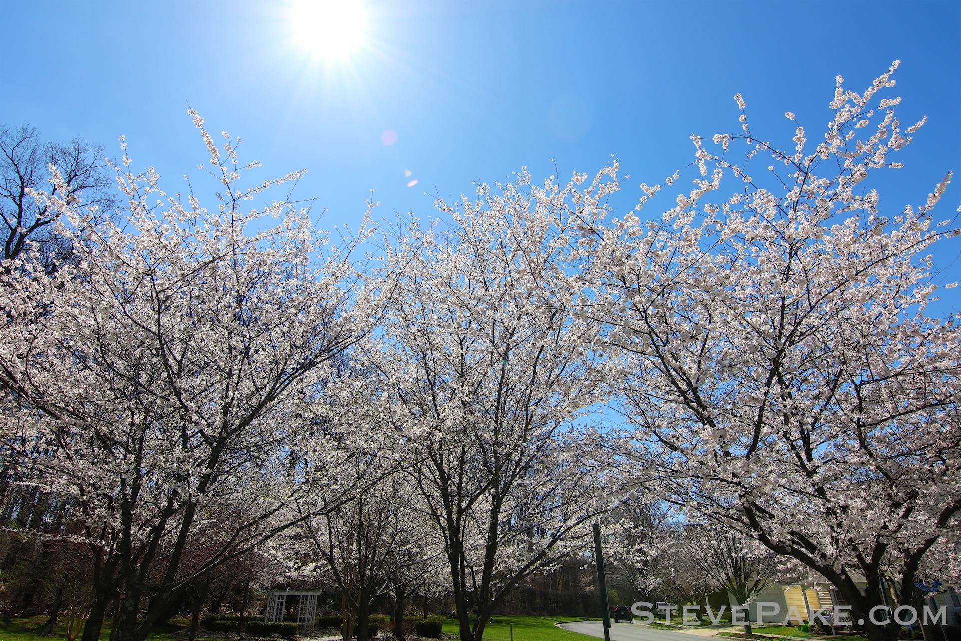 GE3A5905ap-2k_DC-Cherry-Blossoms-WM.jpg