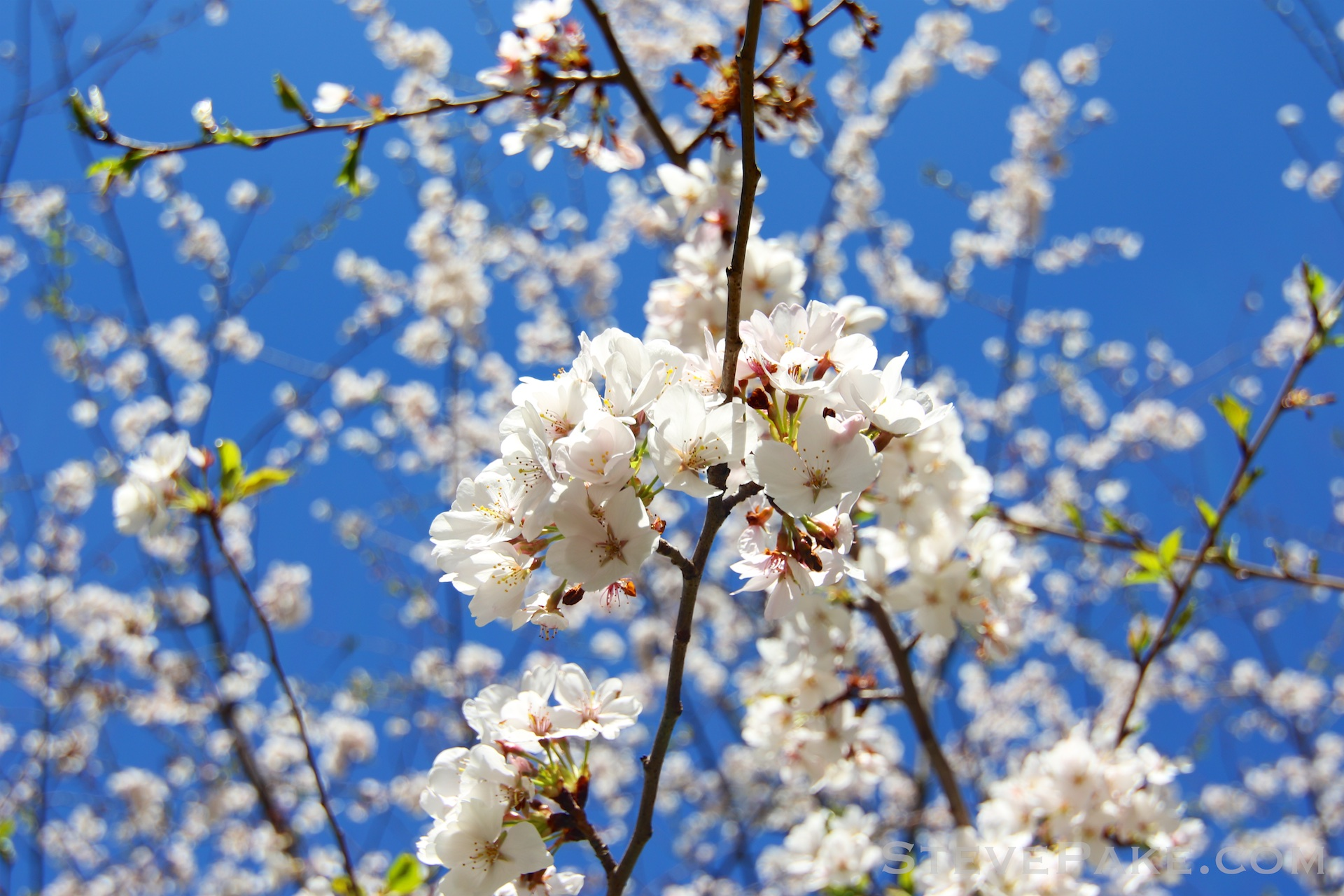 GE3A5906ap-2k_DC-Cherry-Blossoms-WM.jpg